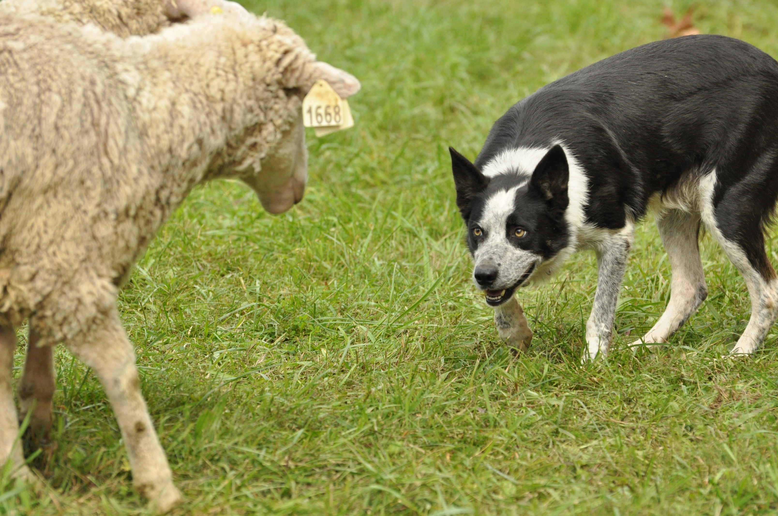 Sheep and dog photo