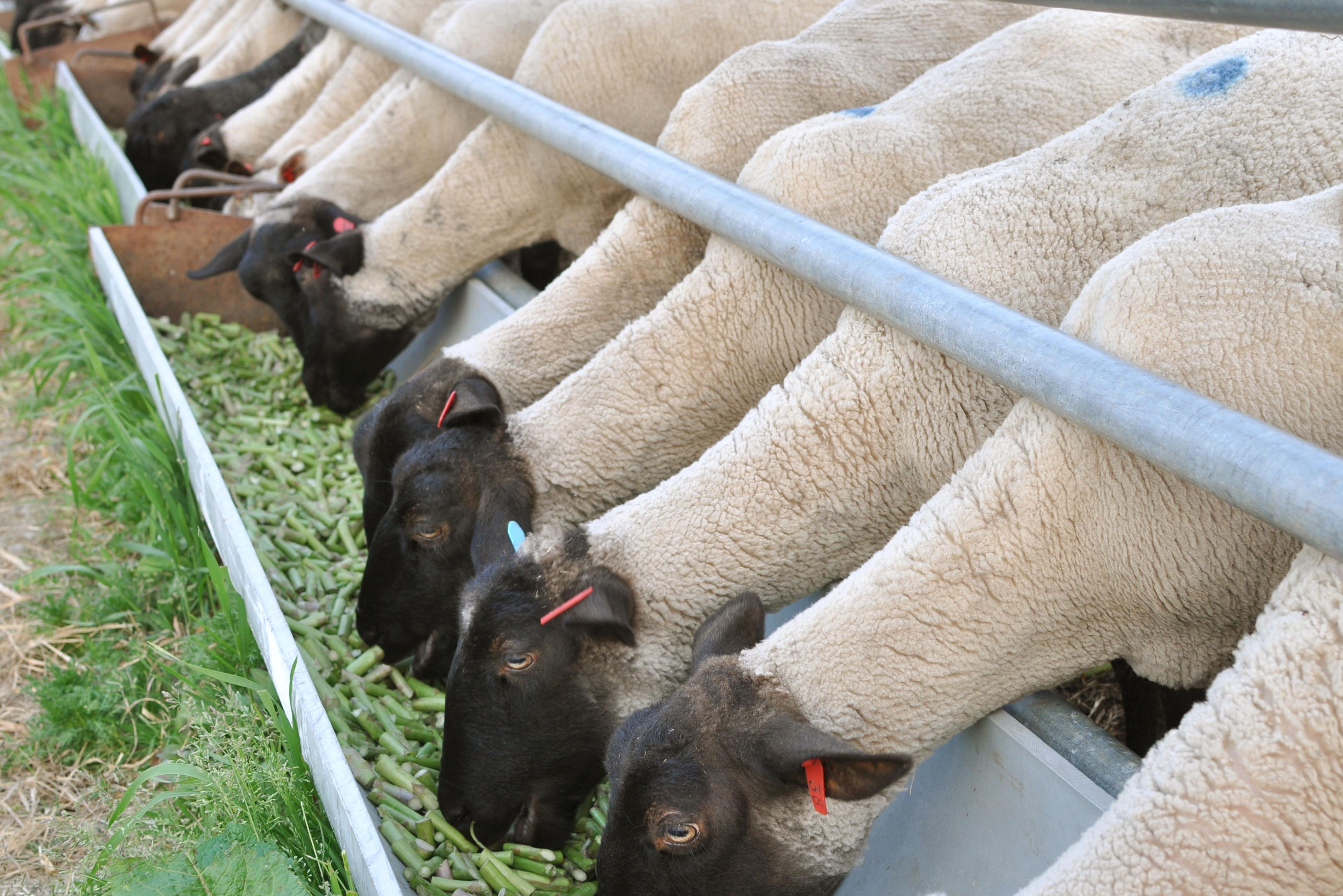 Hokkaido sheep farmer feeds flock on asparagus | The Japan Times