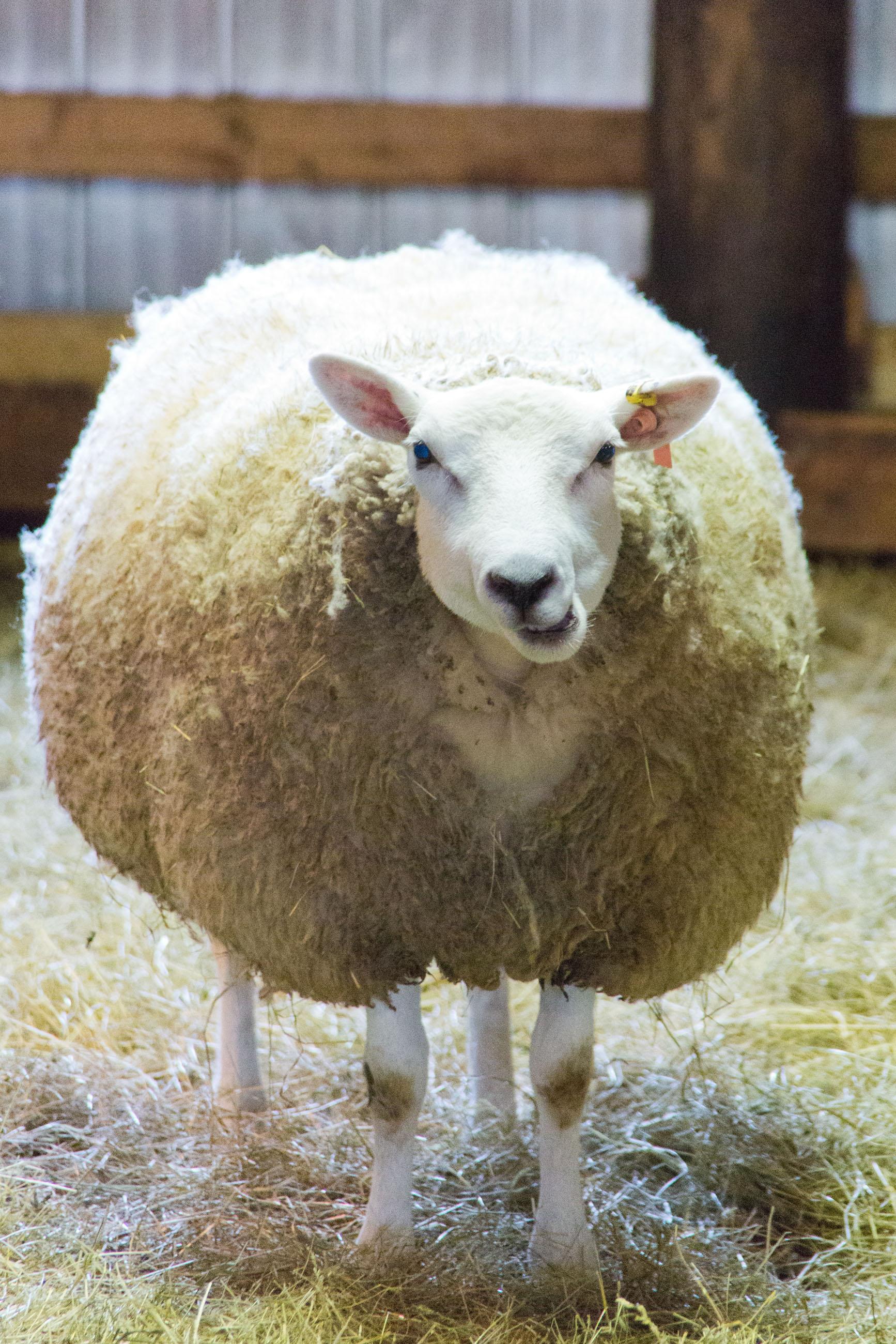 Sheep feeding, Adorable, Soft, Maternal, Naive, HQ Photo