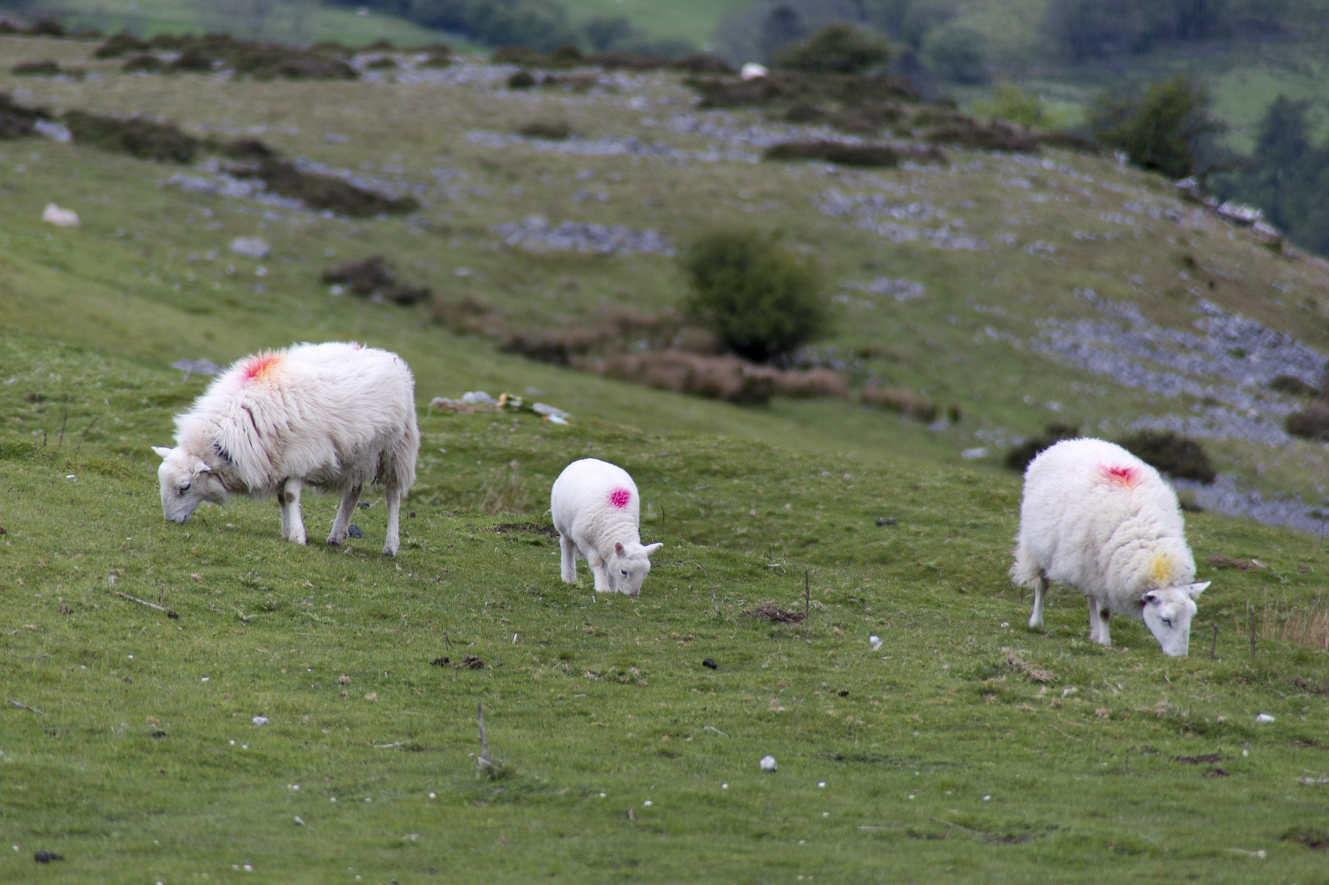 Sheep Grazing, Agriculture, Herd, Weather, View, HQ Photo