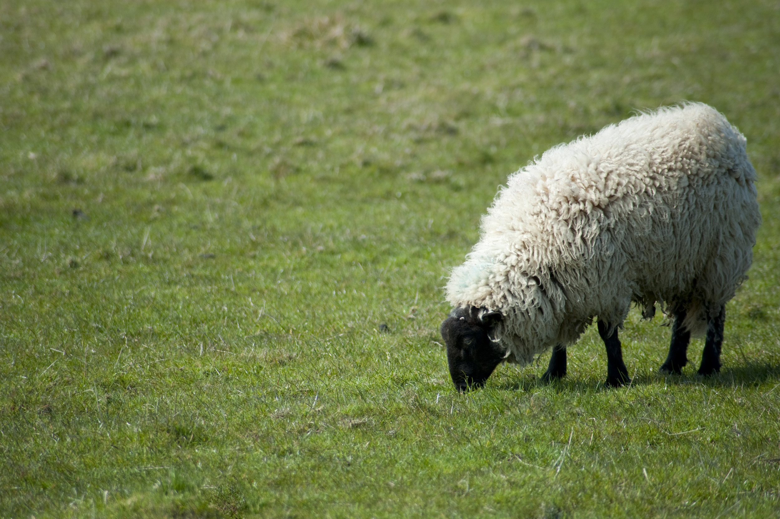 Free image of Sheep grazing in green field