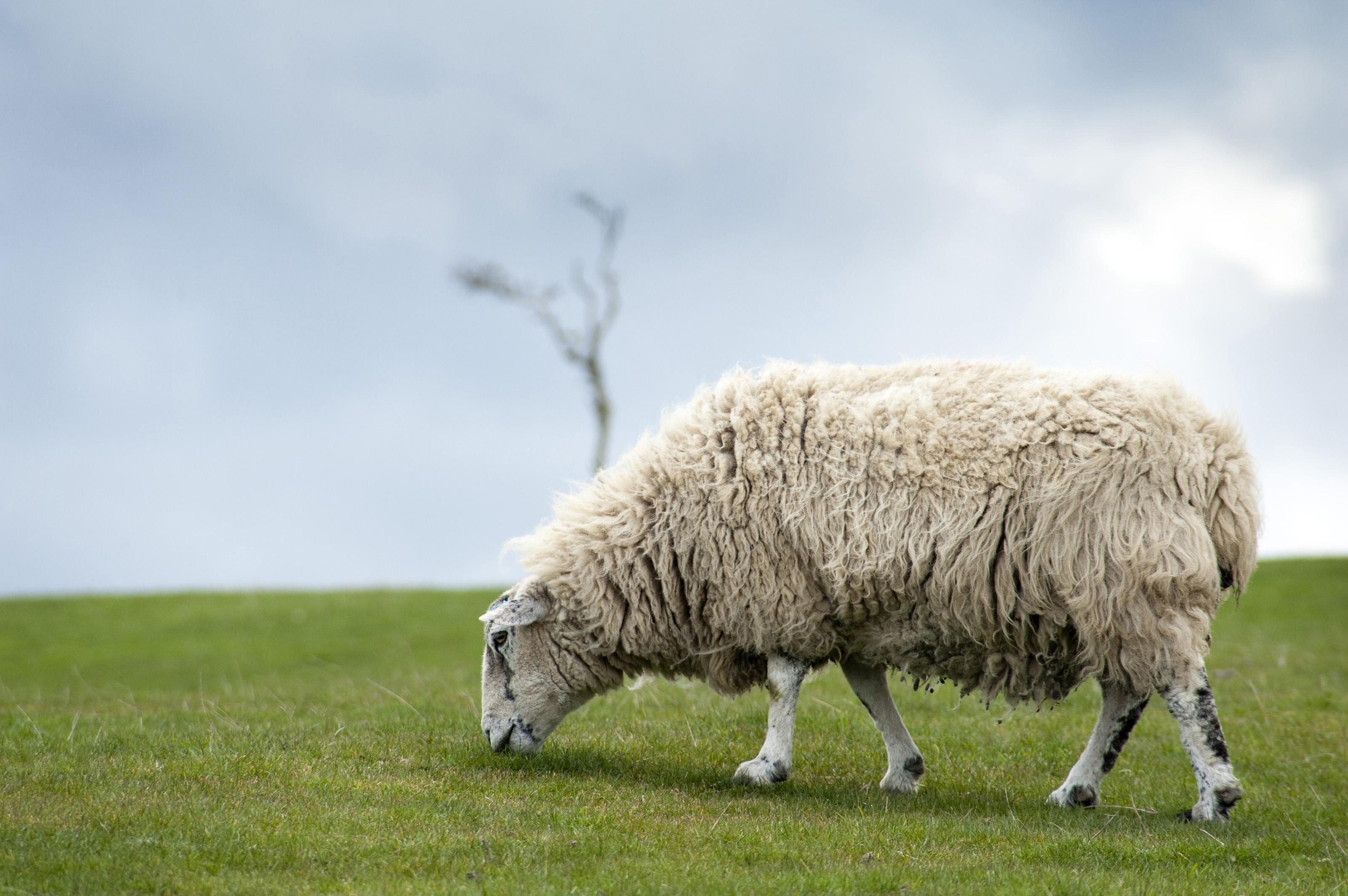 Lone sheep grazing-6779 | Stockarch Free Stock Photos