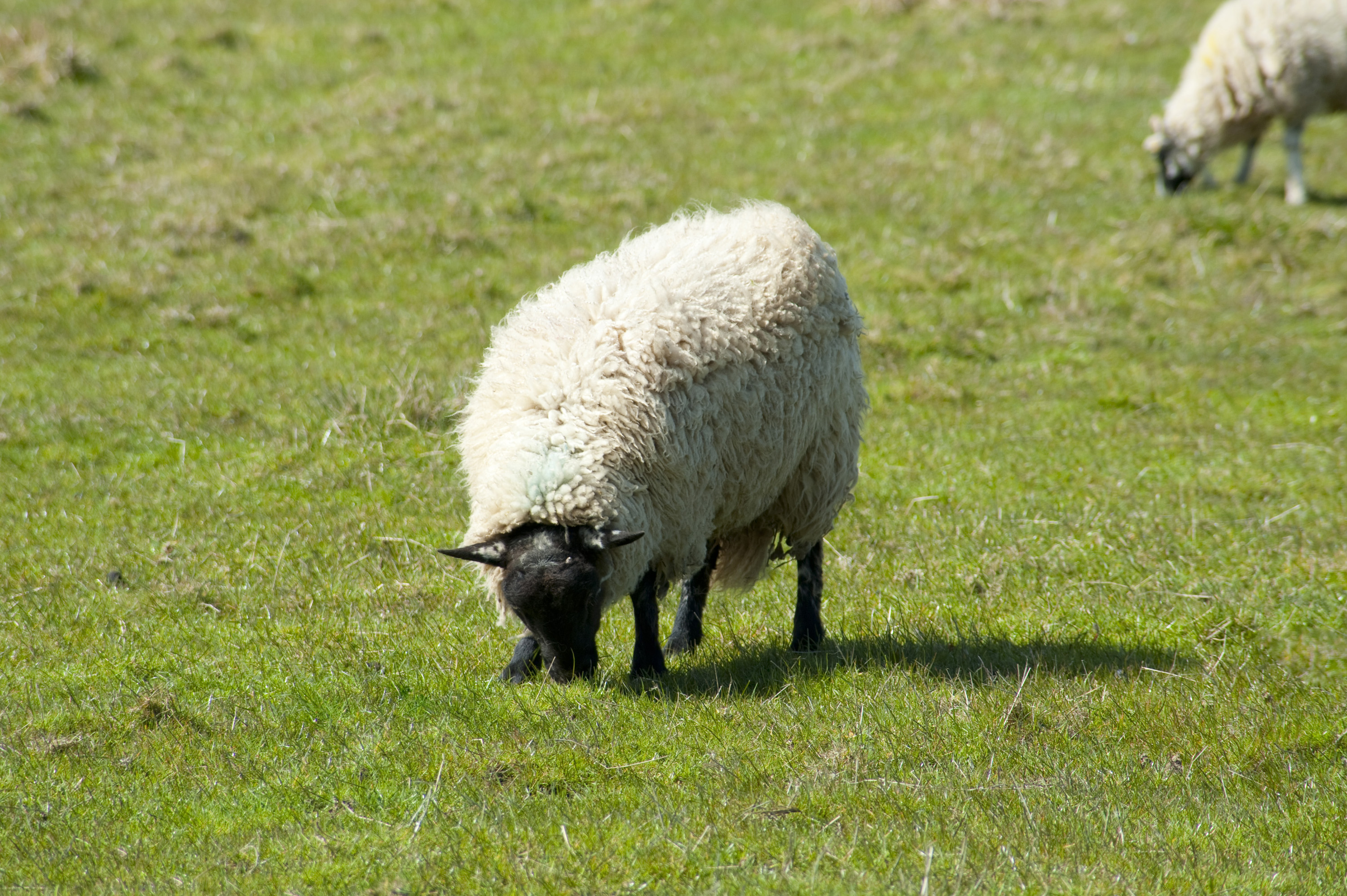 Free Stock Photo 6391 Woolly sheep grazing in pasture | freeimageslive