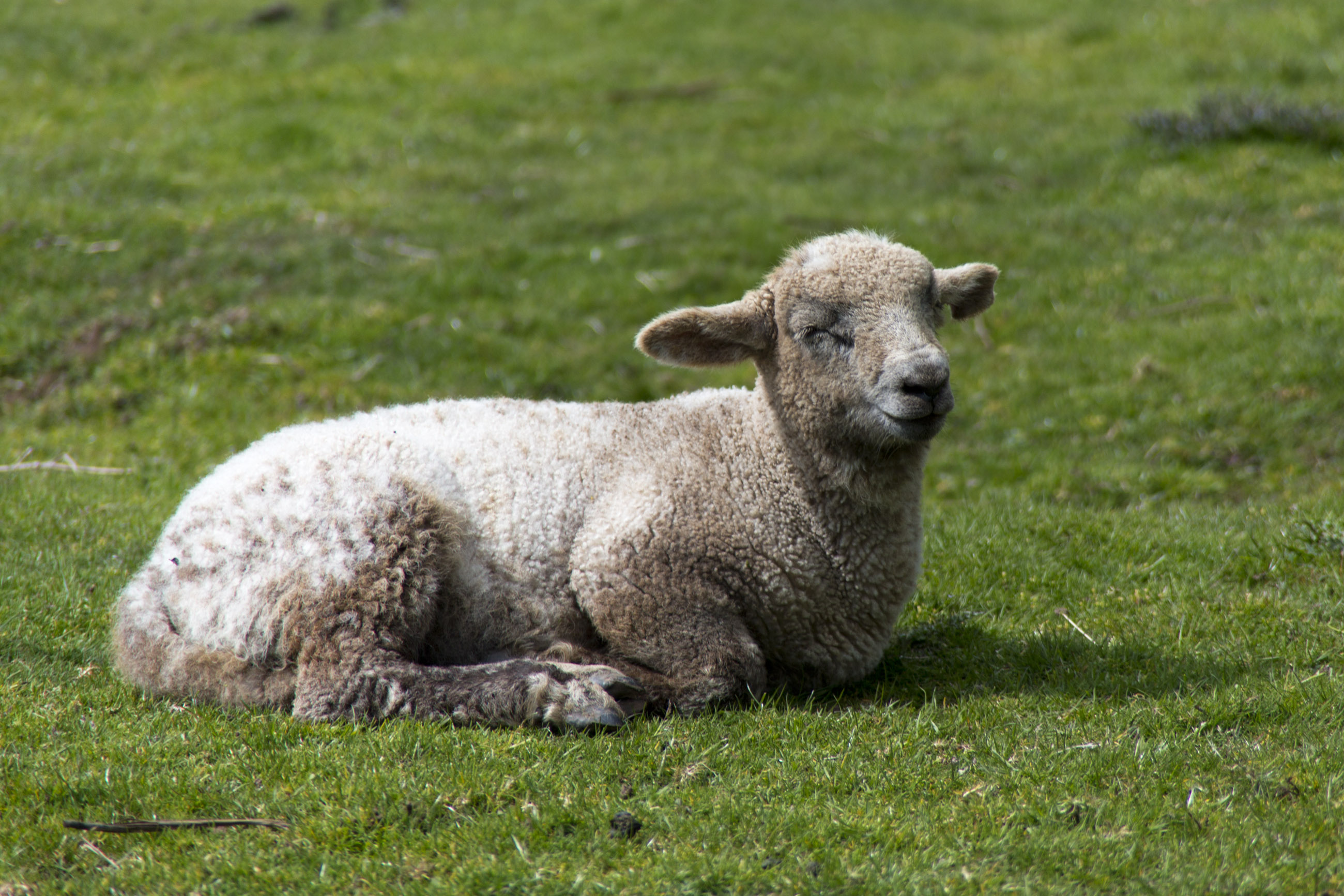 Sheep lying in the grass photo