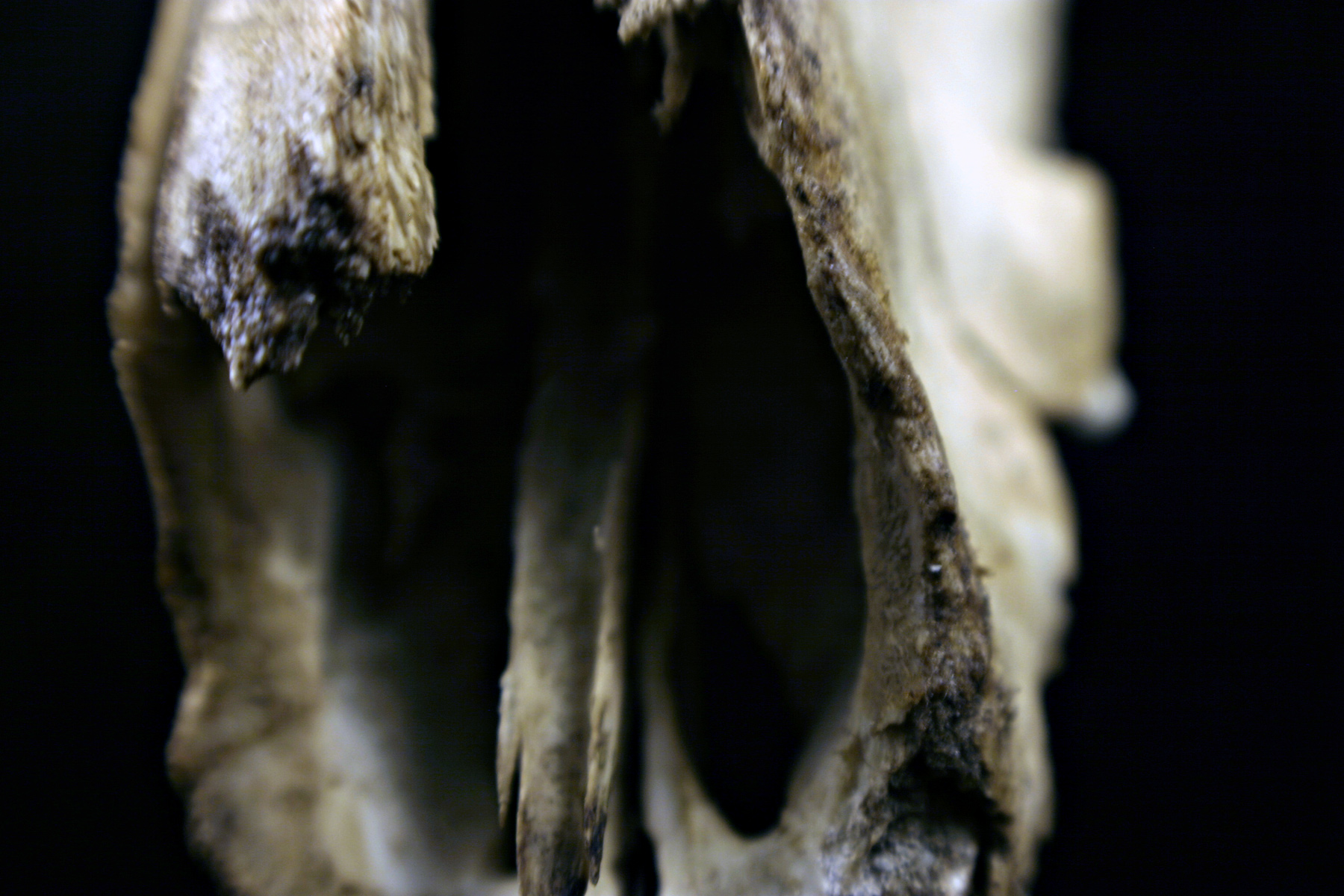 Sheep skull photo