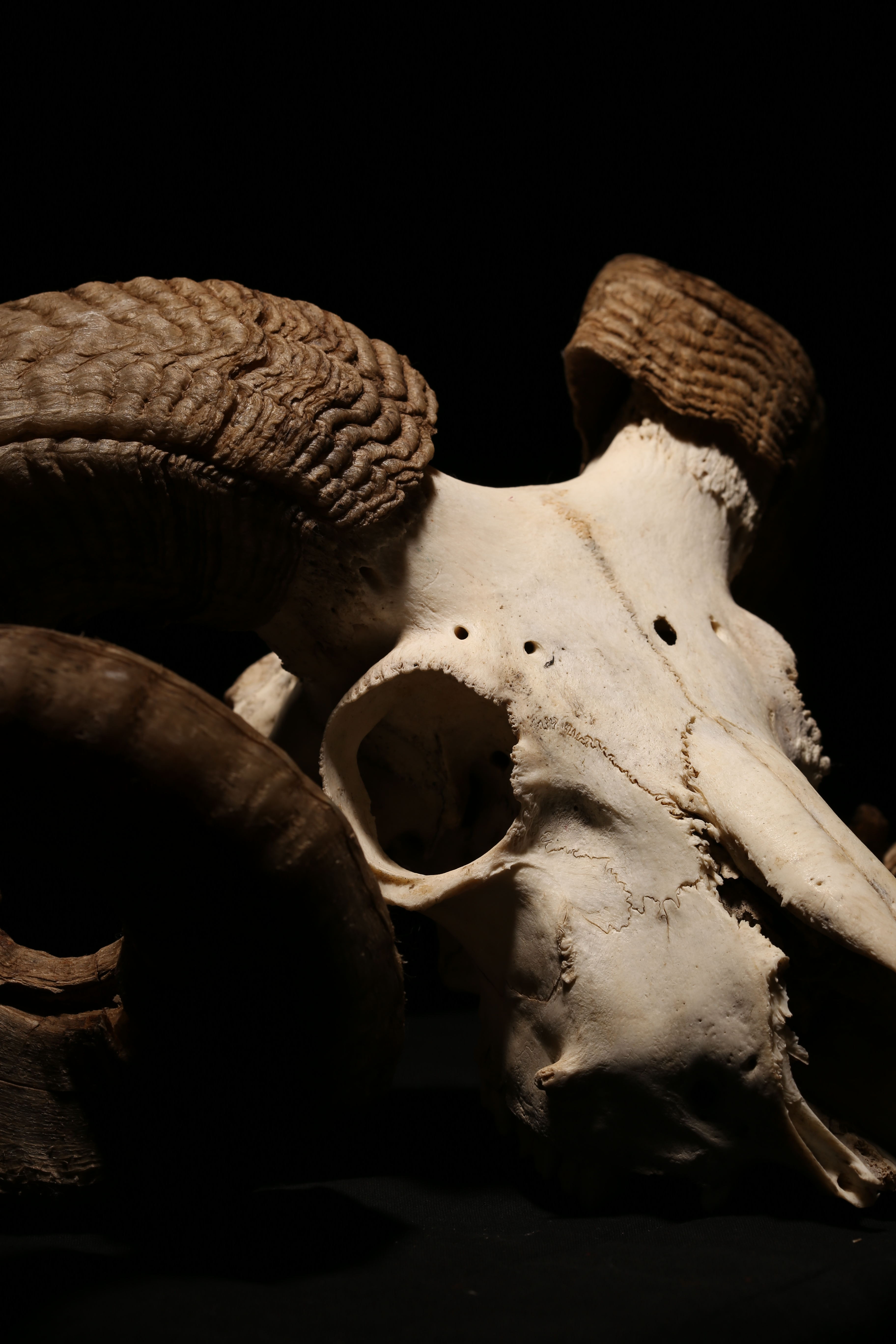 Sheep Skull, Anatomy, Research, Horns, Isolated, HQ Photo