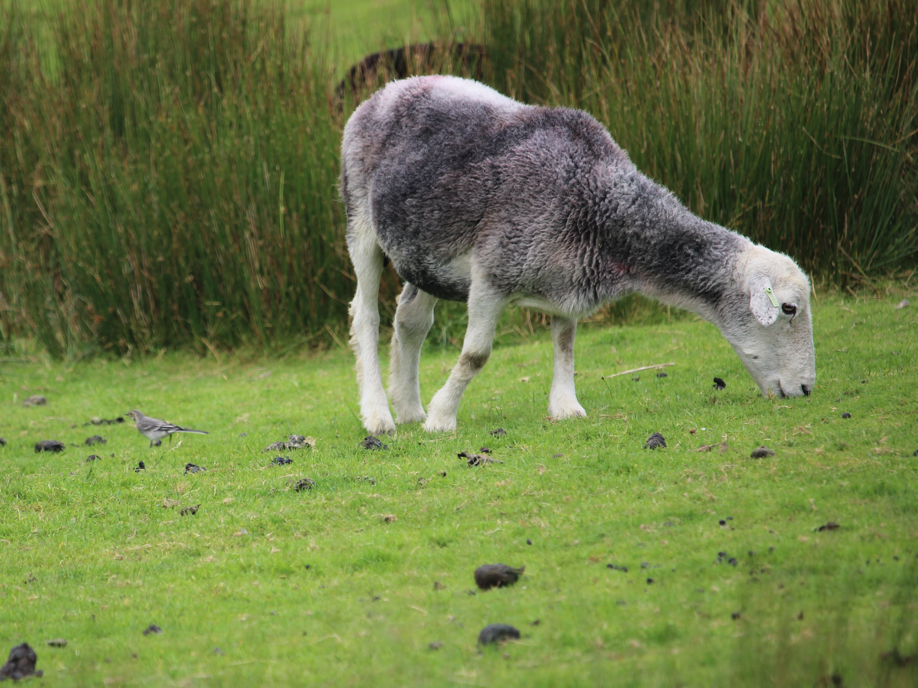 Sheep with a wagtail photo