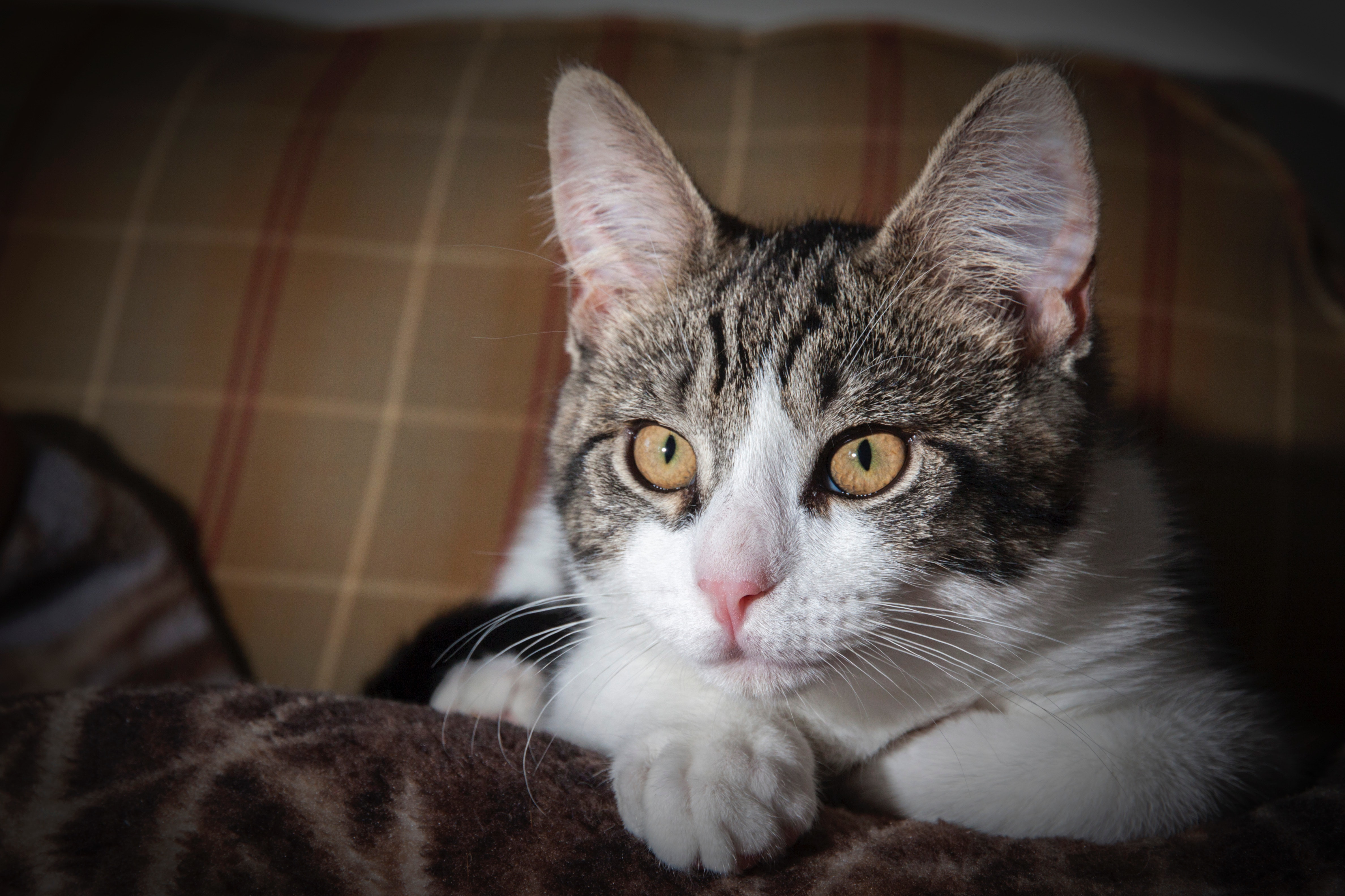 Short-coated Gray and White Tabby Kitten, Kitten, Young, Tabby, Sit, HQ Photo