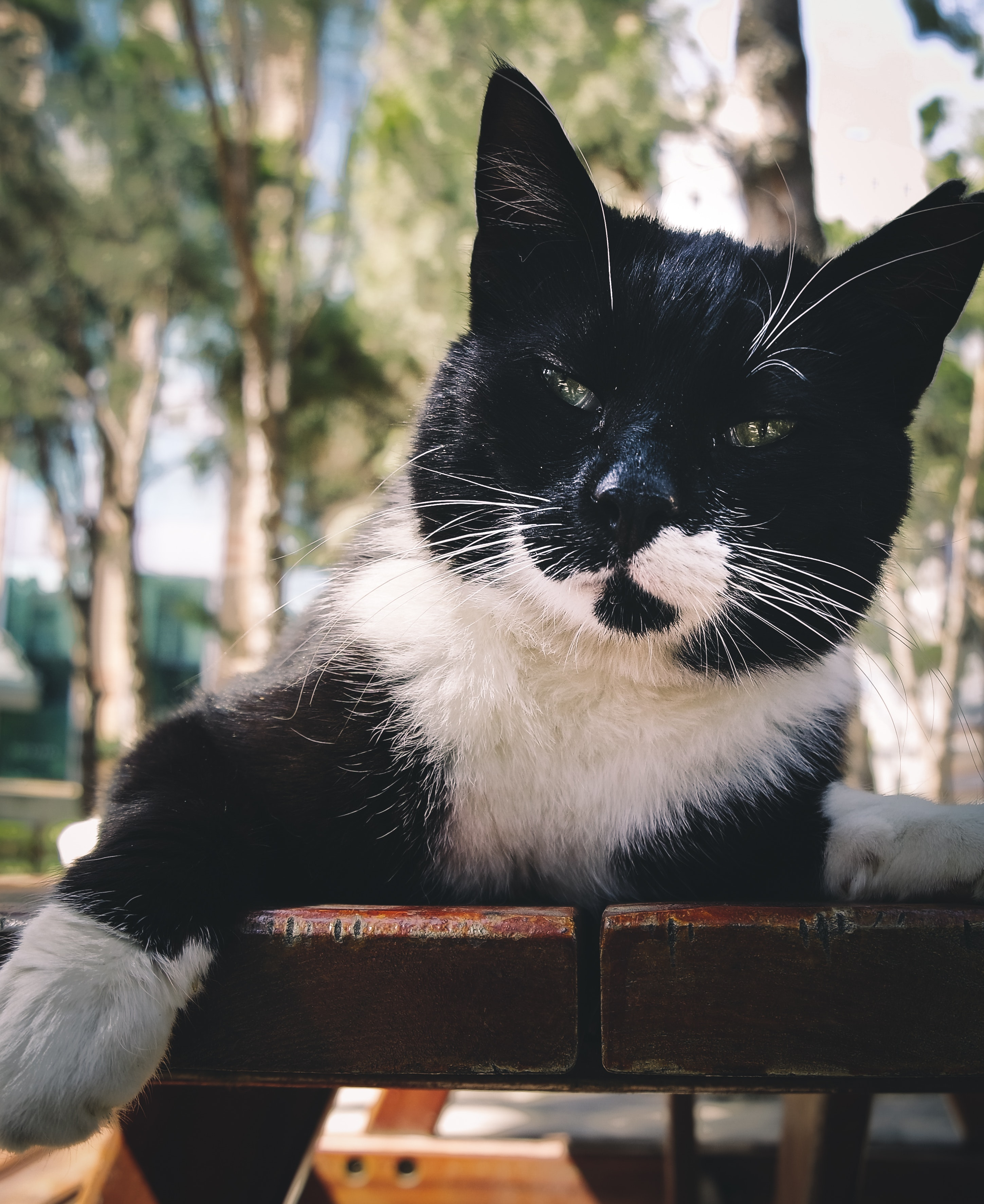 Short-fur black and white cat photo