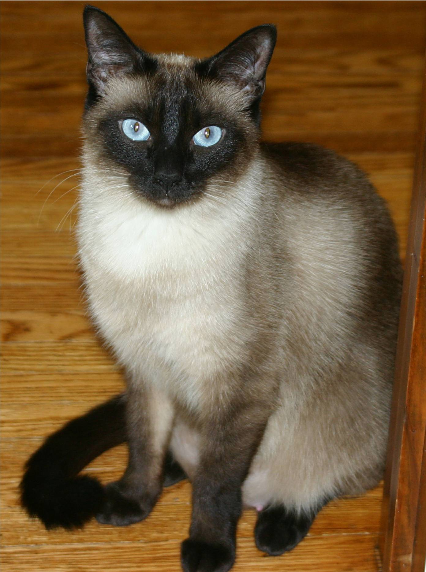 File:Niobe050905-Siamese Cat.jpeg - Wikimedia Commons