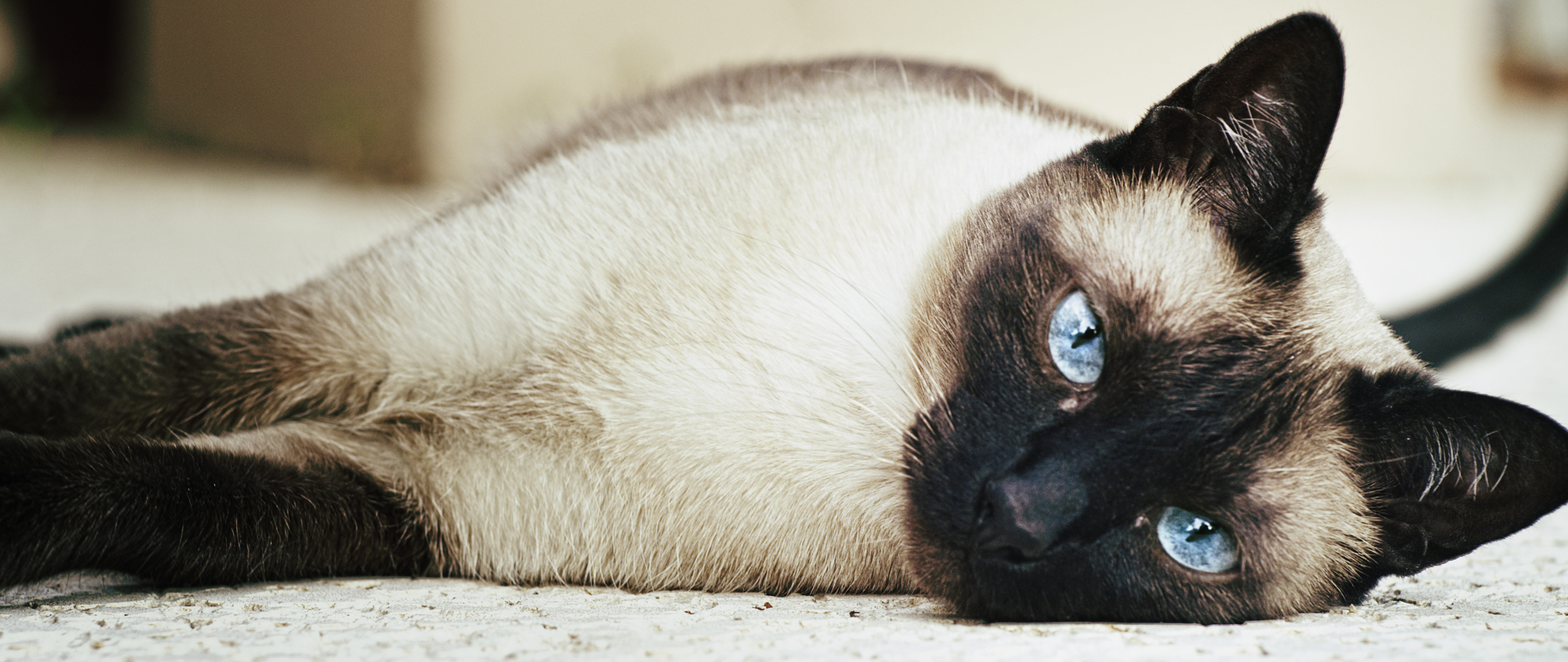 Siamese Cats - A Little Guide | Cat-Opedia