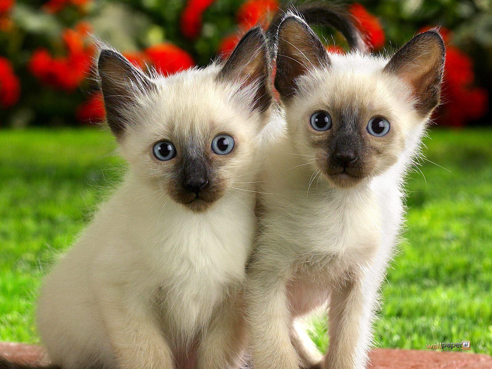 Ultimate Cheat Sheet Siamese Cat Tips & Tricks