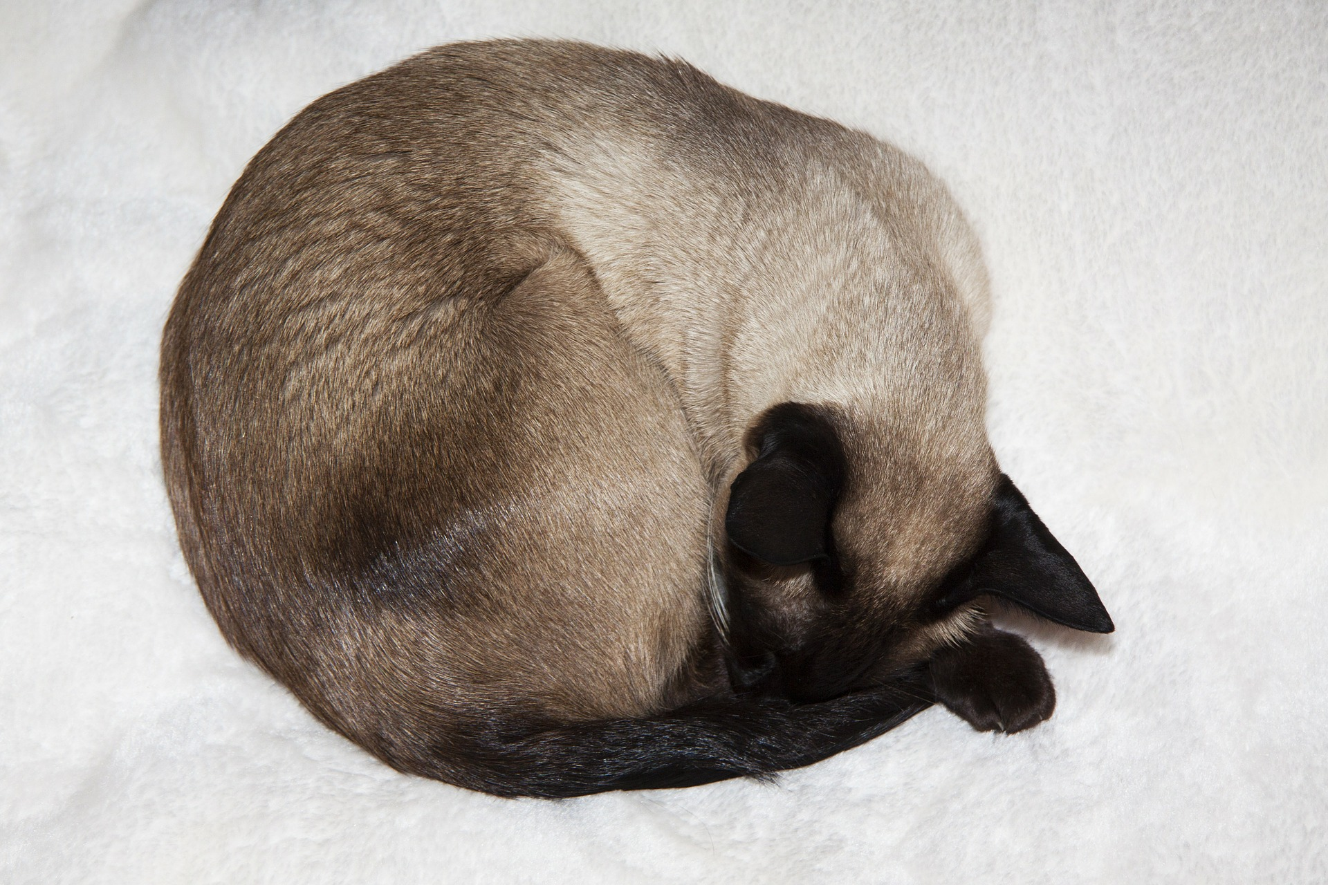 Siamese Cat, Animal, Cat, Friend, Loyal, HQ Photo