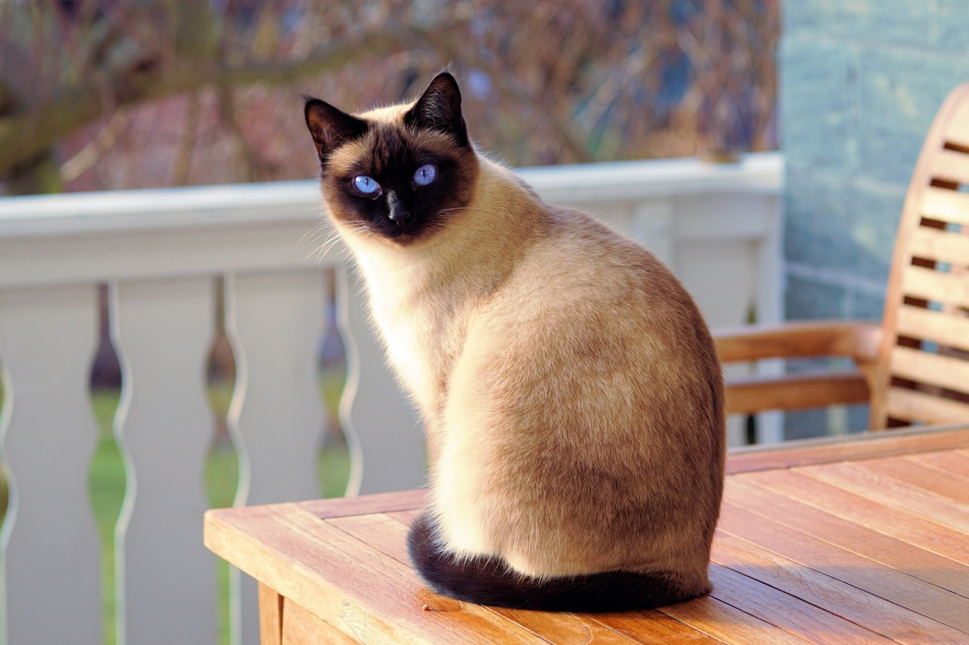 Siamese Cat Free Stock Photo - Public Domain Pictures