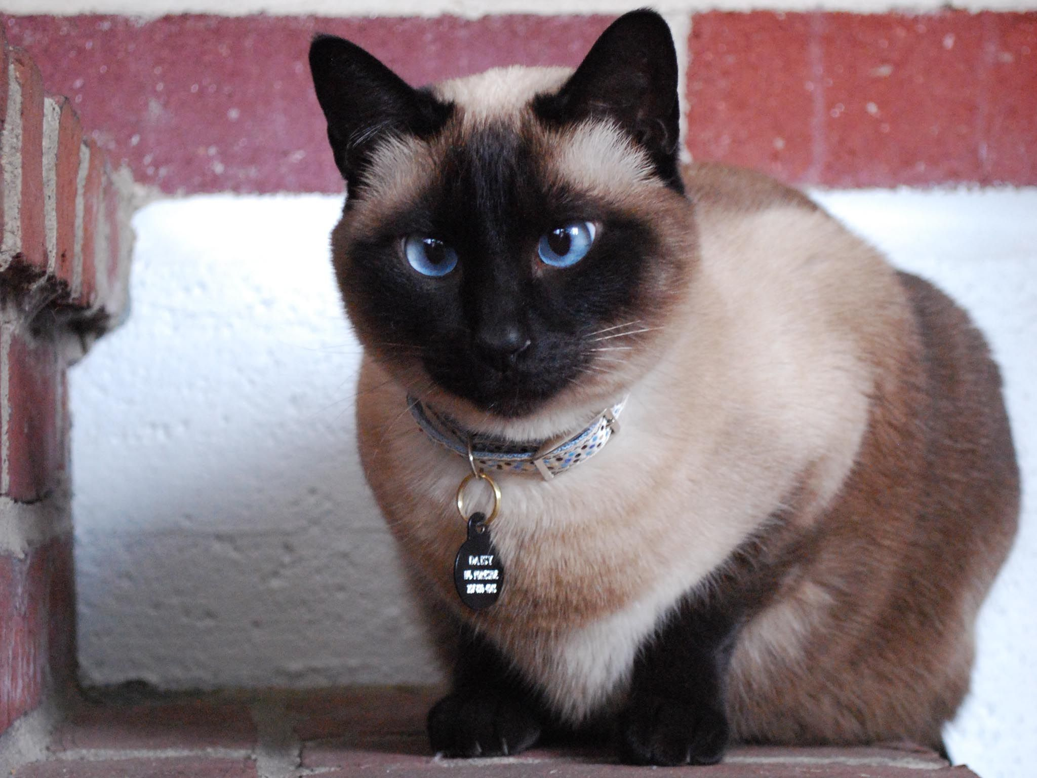 32 Popular Siamese Cat Photos That You Will Love | Funny cat ...