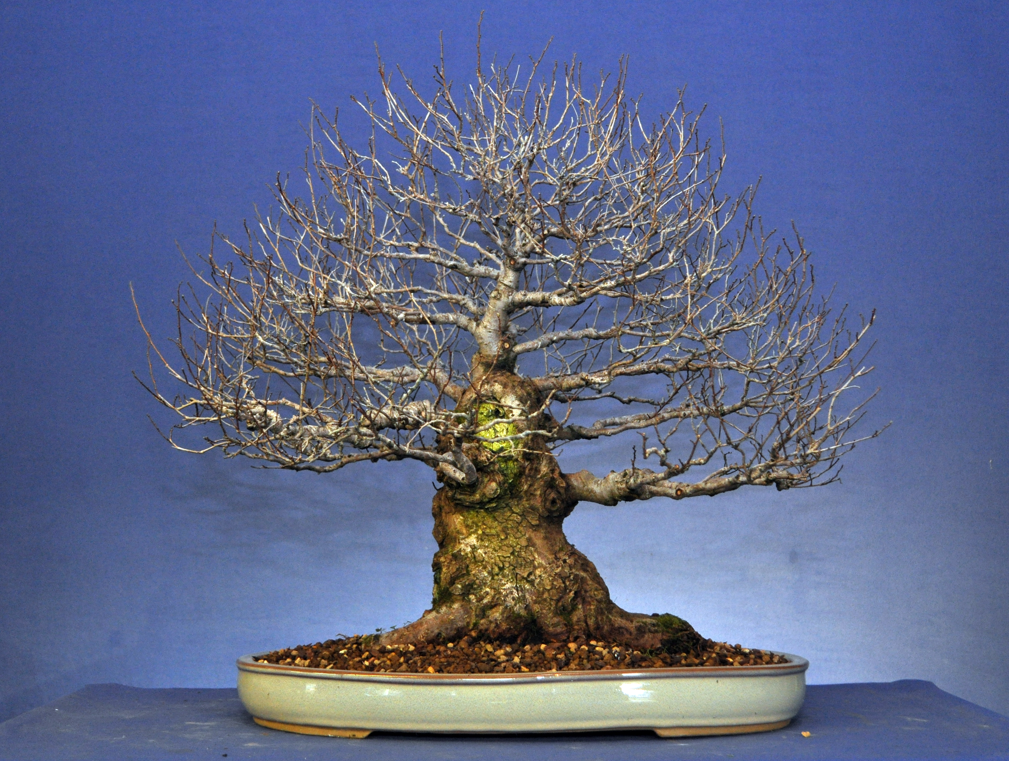 Siberian Elm Trim | Bonsai Eejit