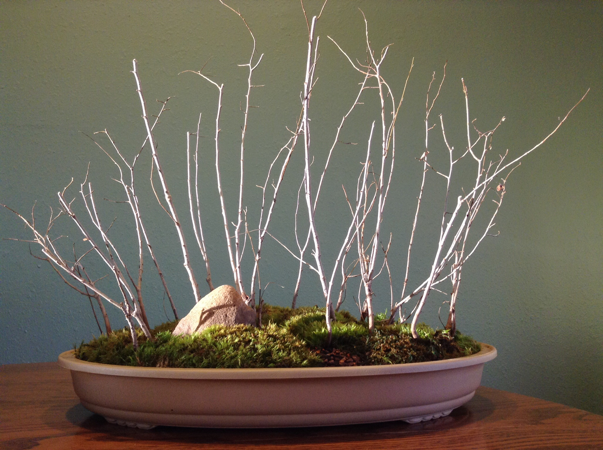 Siberian Elm Forest | Black Hills Bonsai
