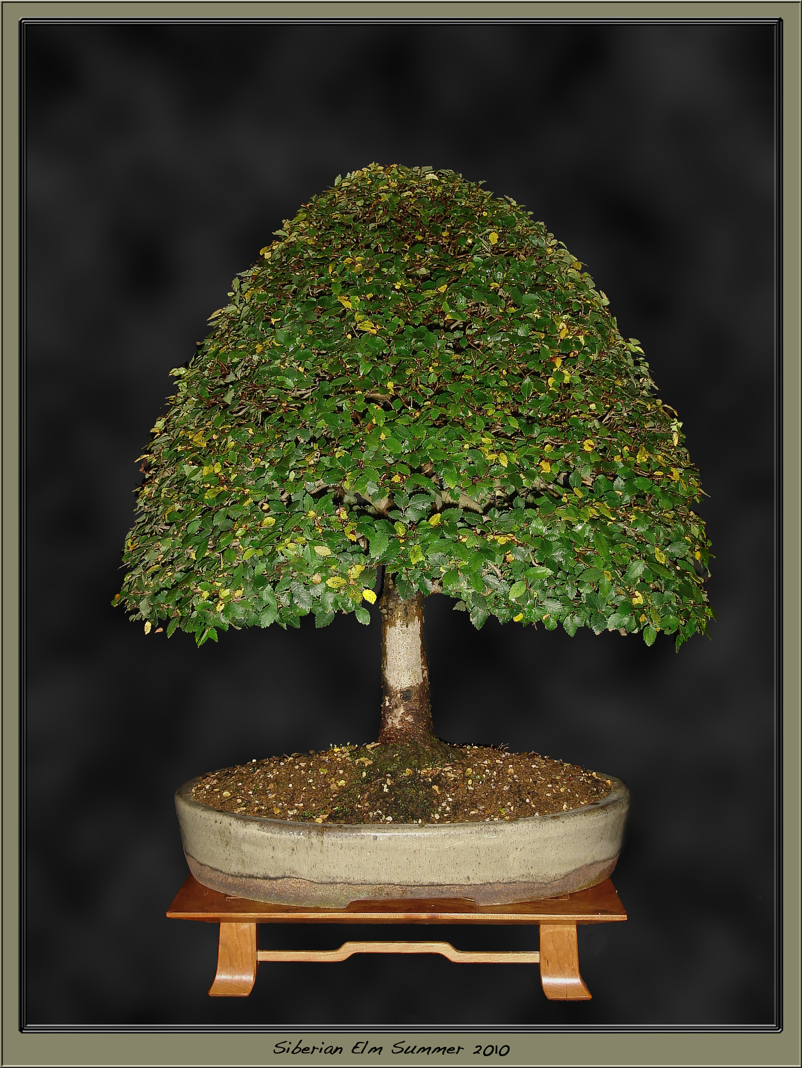 Siberian Elm Shortlisted for BOBB 2011 | Bonsai-Passion