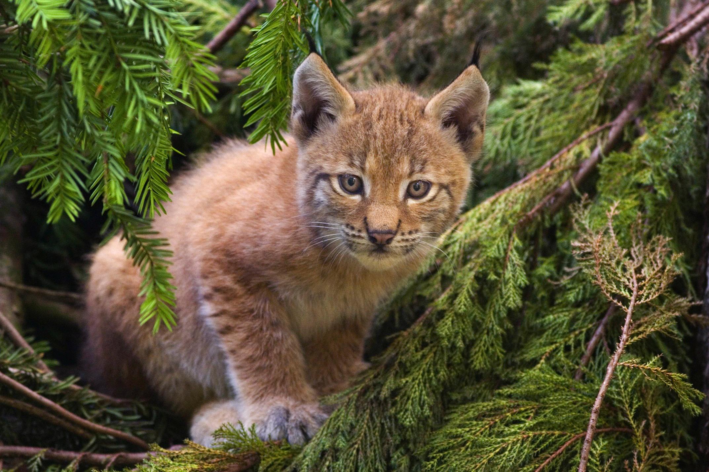Eurasian lynx - Wikipedia