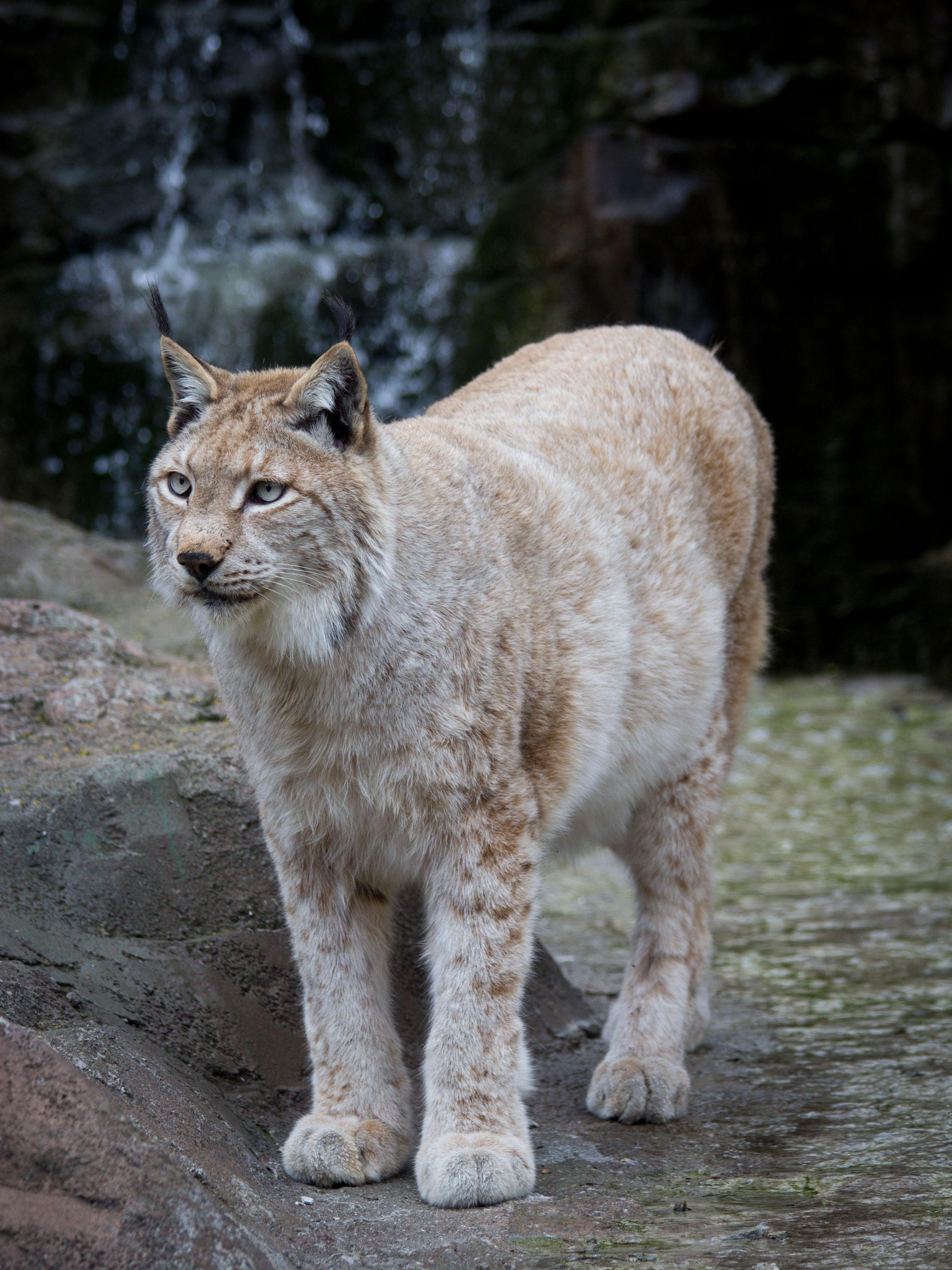 The Eurasian lynx (Lynx lynx) is a medium-sized cat native to ...
