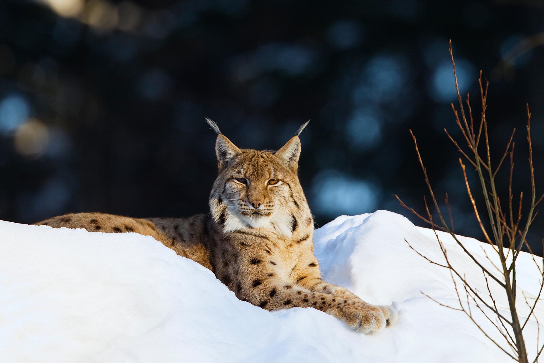 Wallpaper] Eurasian Lynx | PicPetz
