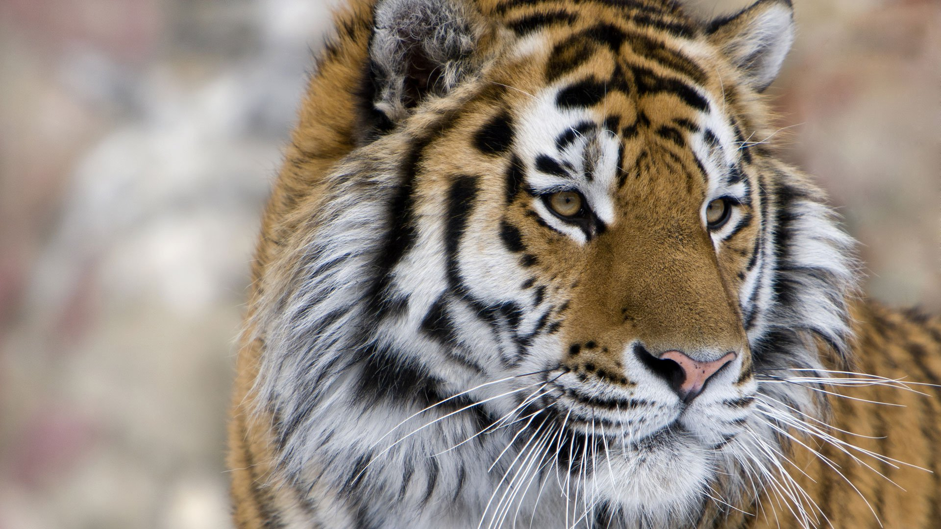 Siberian Tiger Safaris & Tiger Holidays - Natural World Safaris
