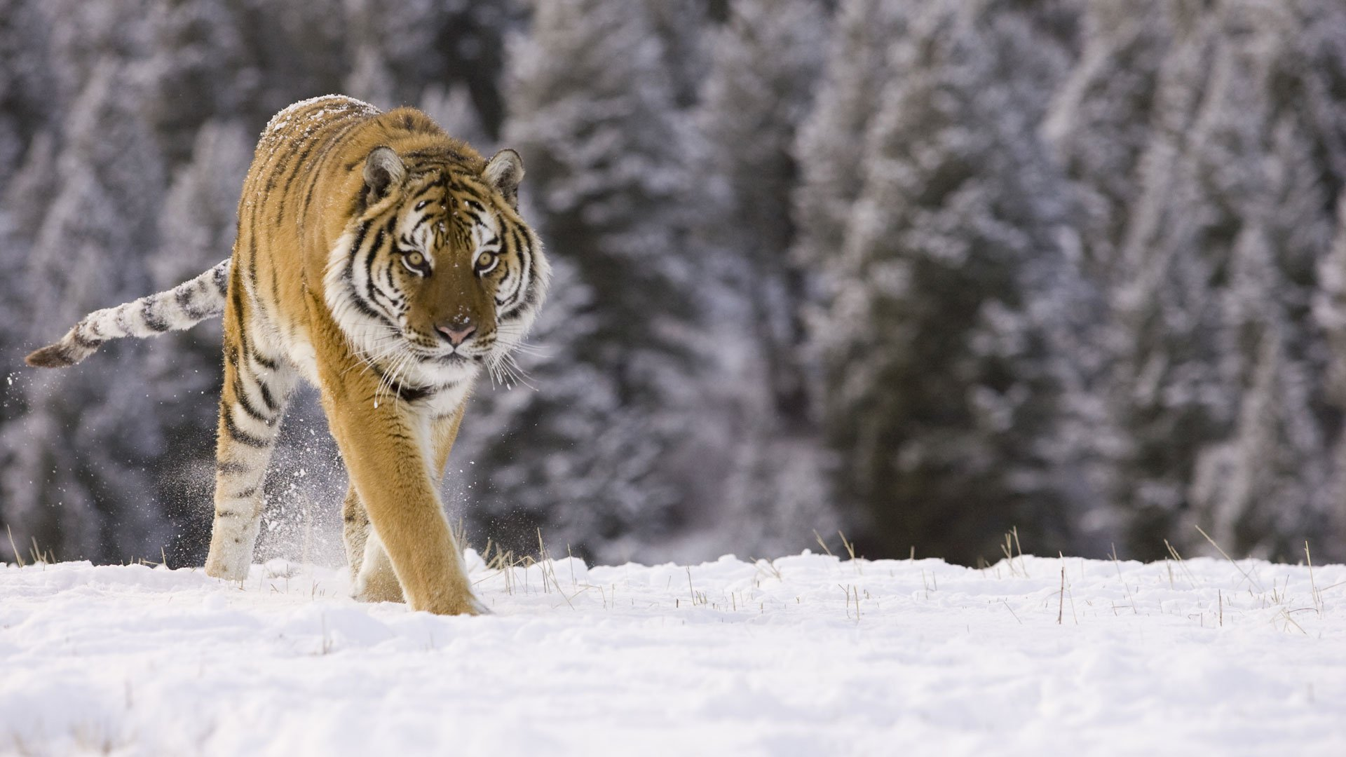 Siberian Tiger Safari, Russia wildlife holiday - Natural World Safaris