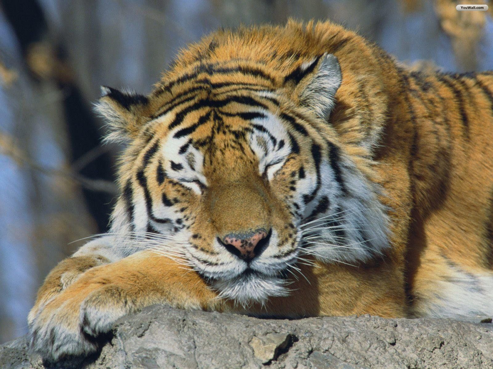 Siberian tiger resting photo