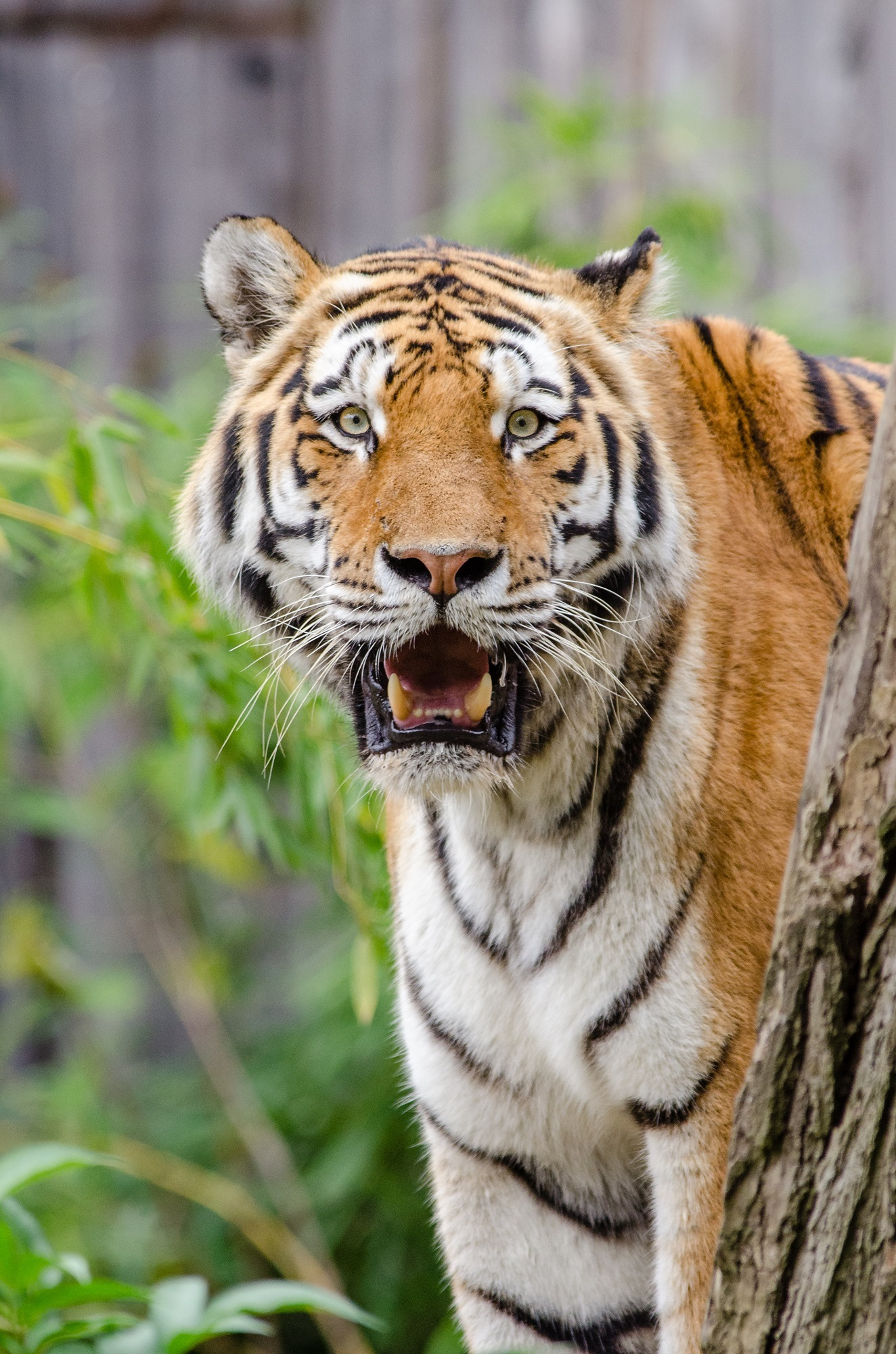 Siberian Tiger, Animal, Bengal, Forest, Jungle, HQ Photo