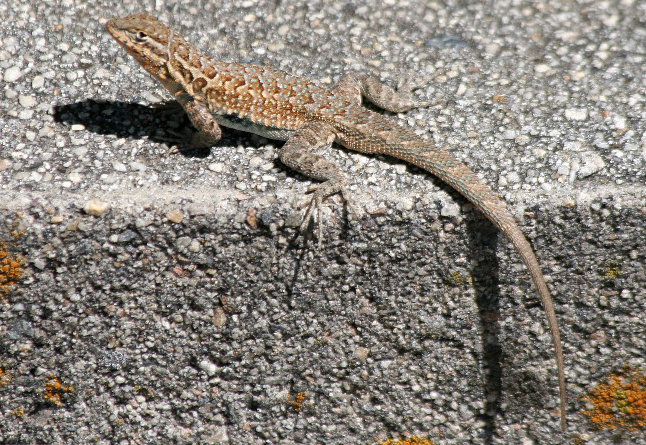 Side-blotched Lizard, Uta stansburiana