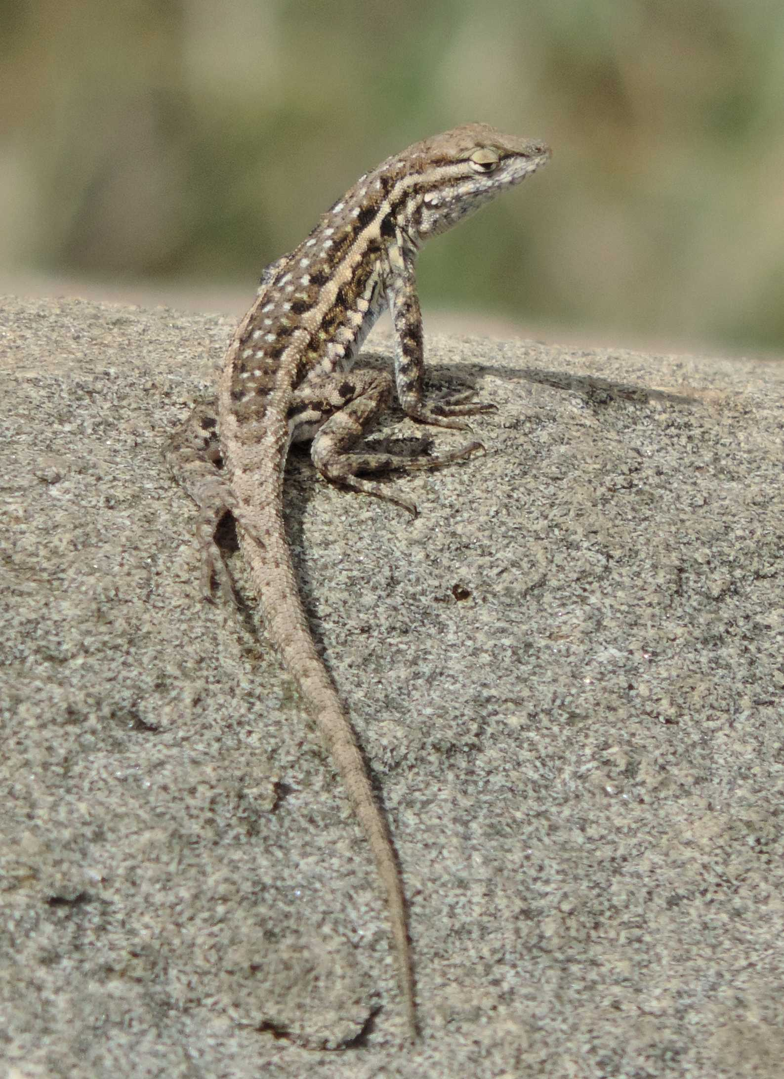 Common Side-blotched Lizard - Tucson Herpetological Society