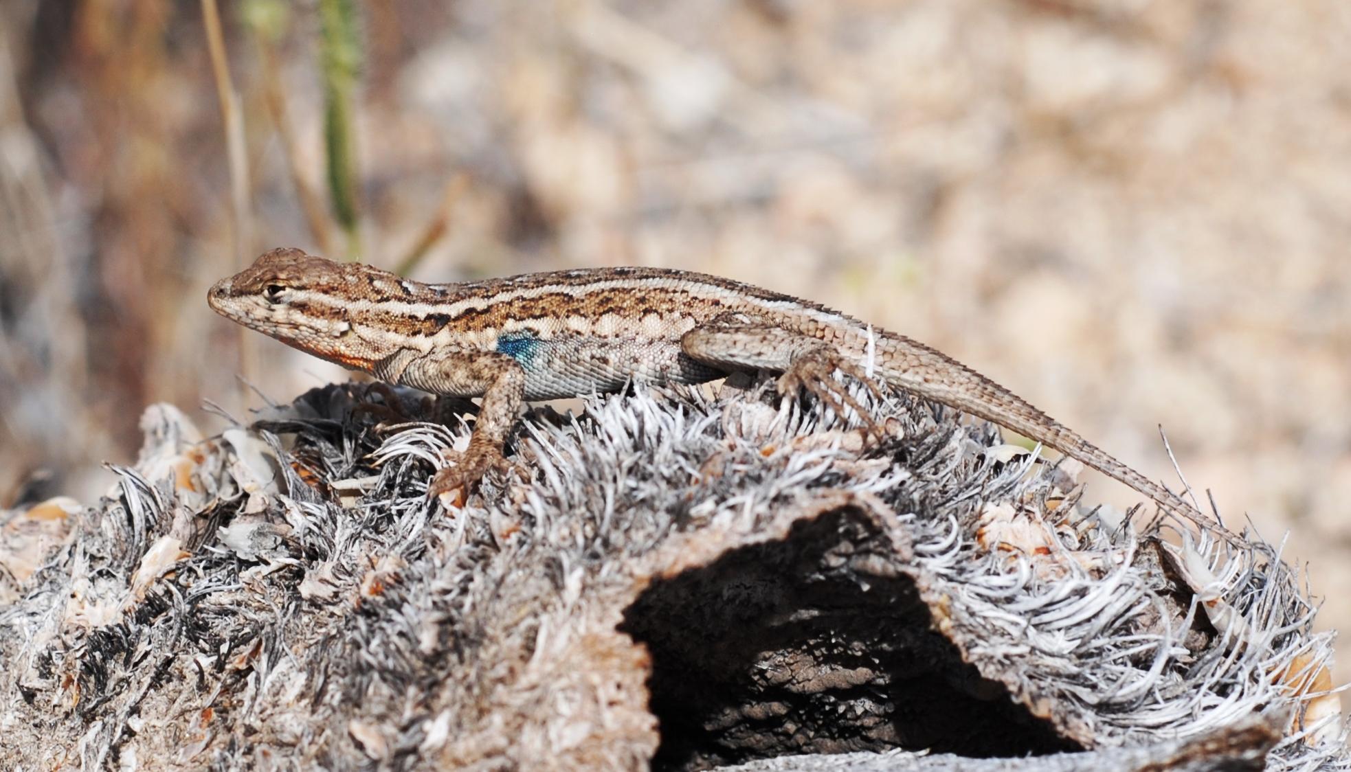 File:Joshua Tree NP - Desert Side-blotched Lizard - 3.JPG ...