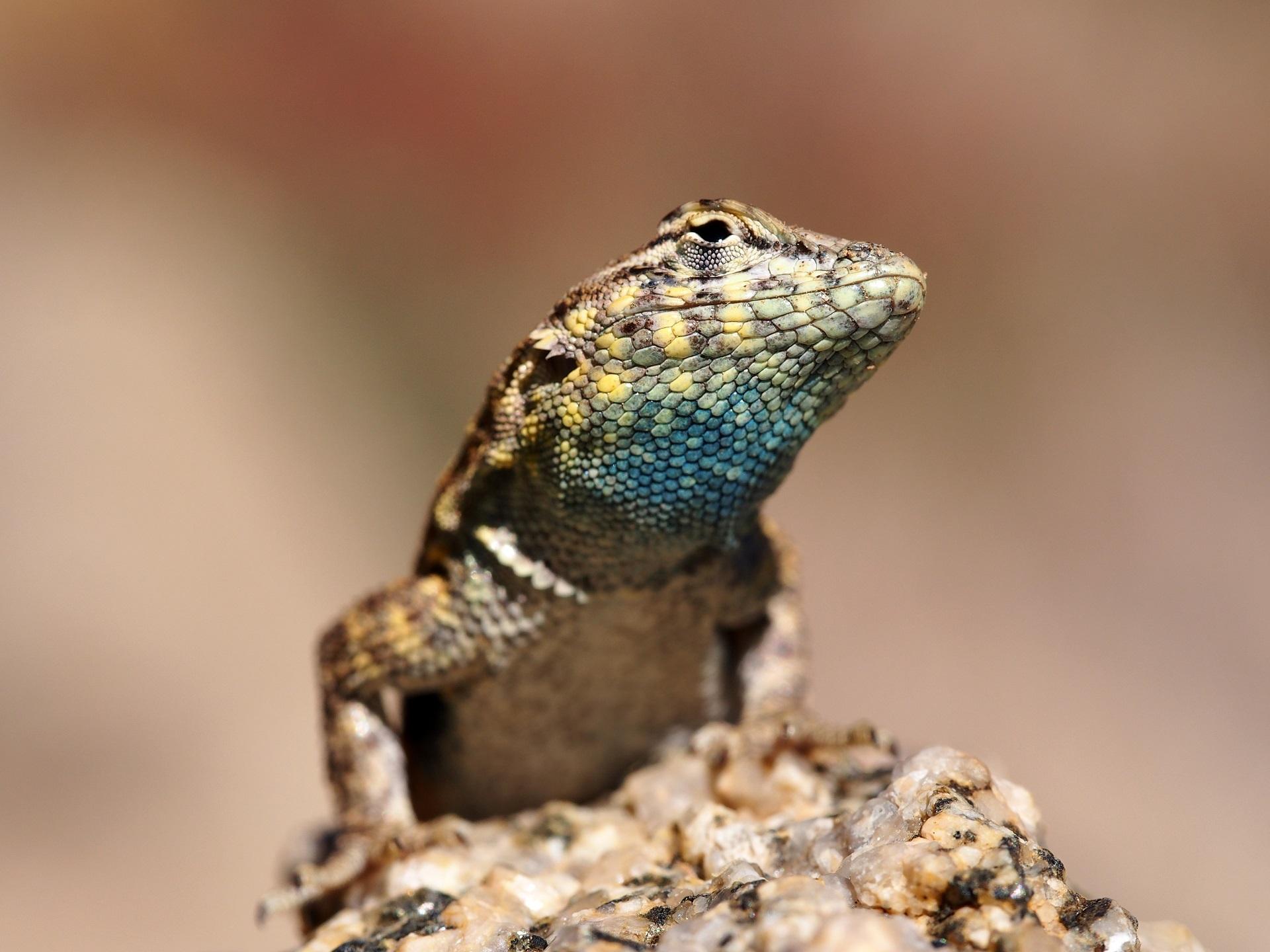 Side Blotched Lizard, Animal, Lizard, Nature, Reptile, HQ Photo
