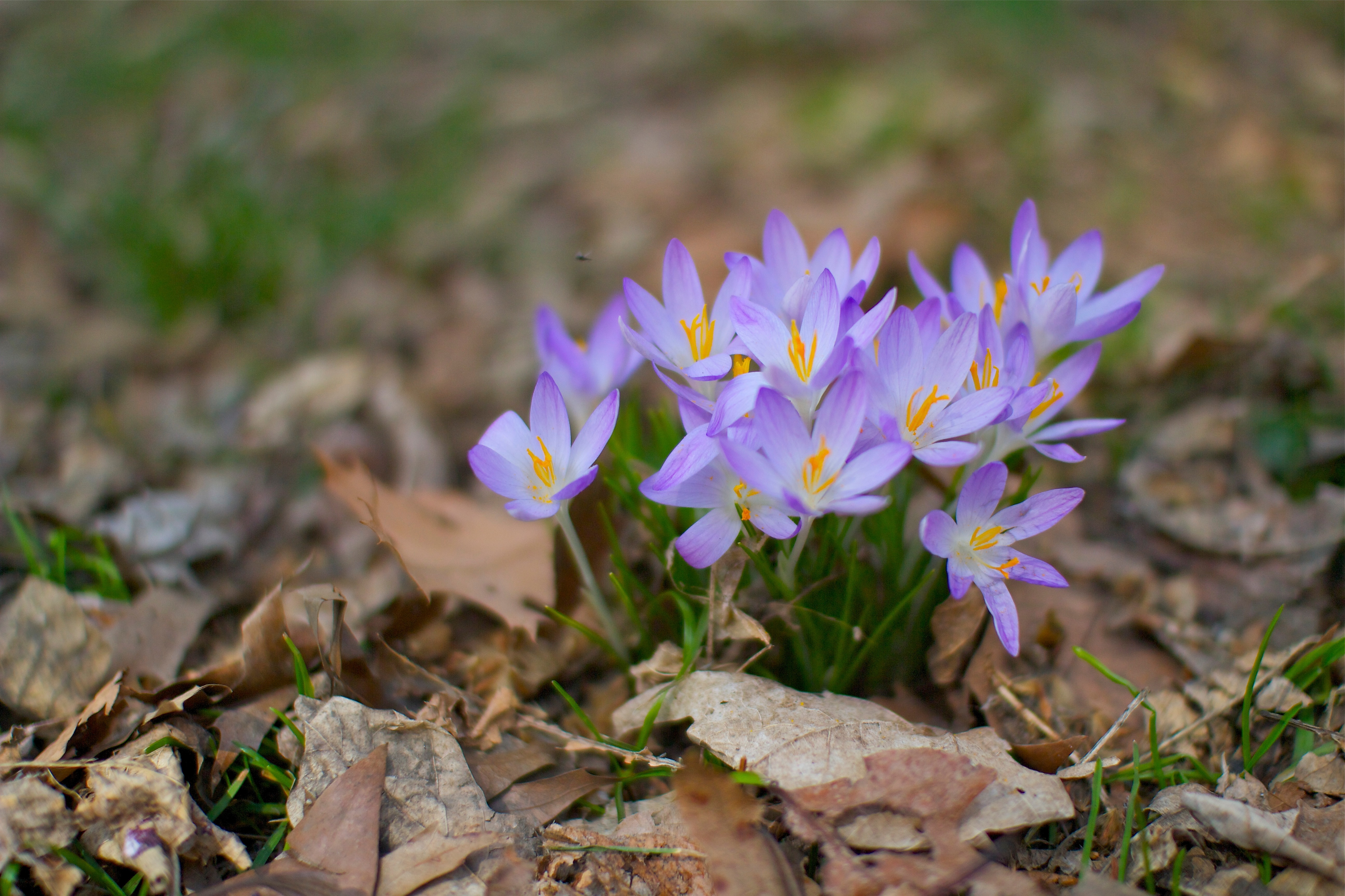 Free Photo Signs Of Spring Purple Spring Flower Non