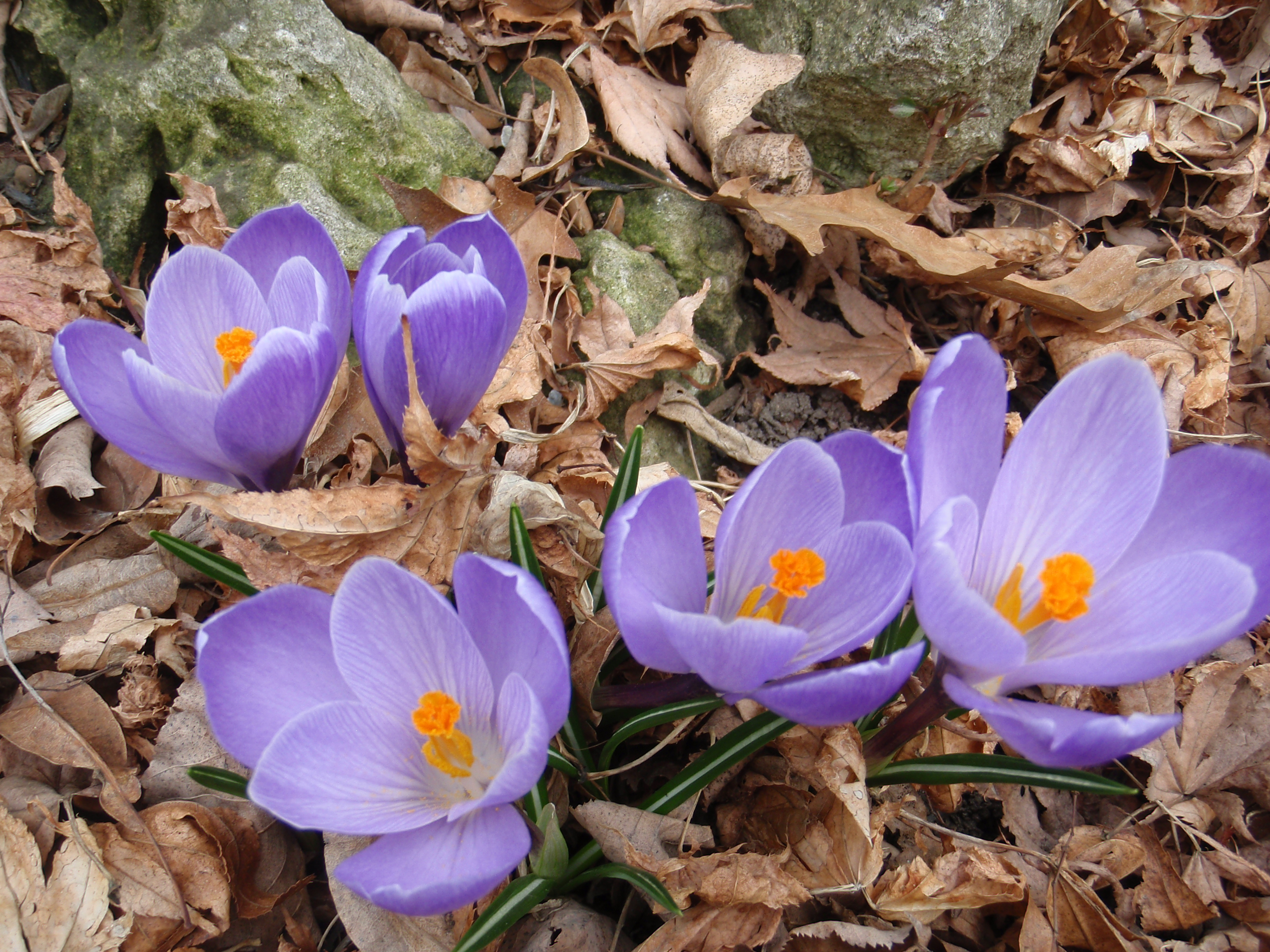 Free Photo Signs Of Spring Purple Spring Flower Free Download