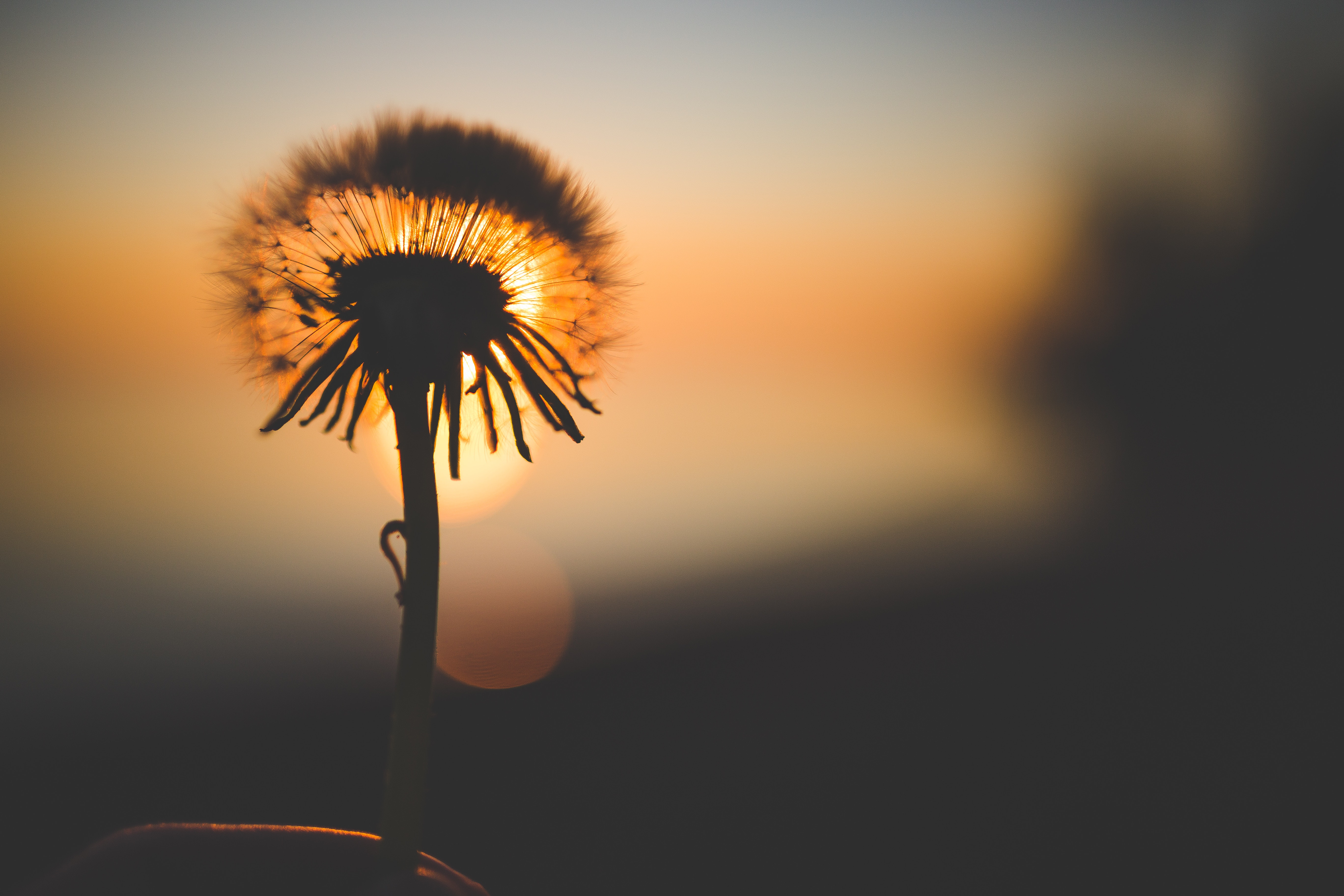 Silhouette of dandelion behind sun photo