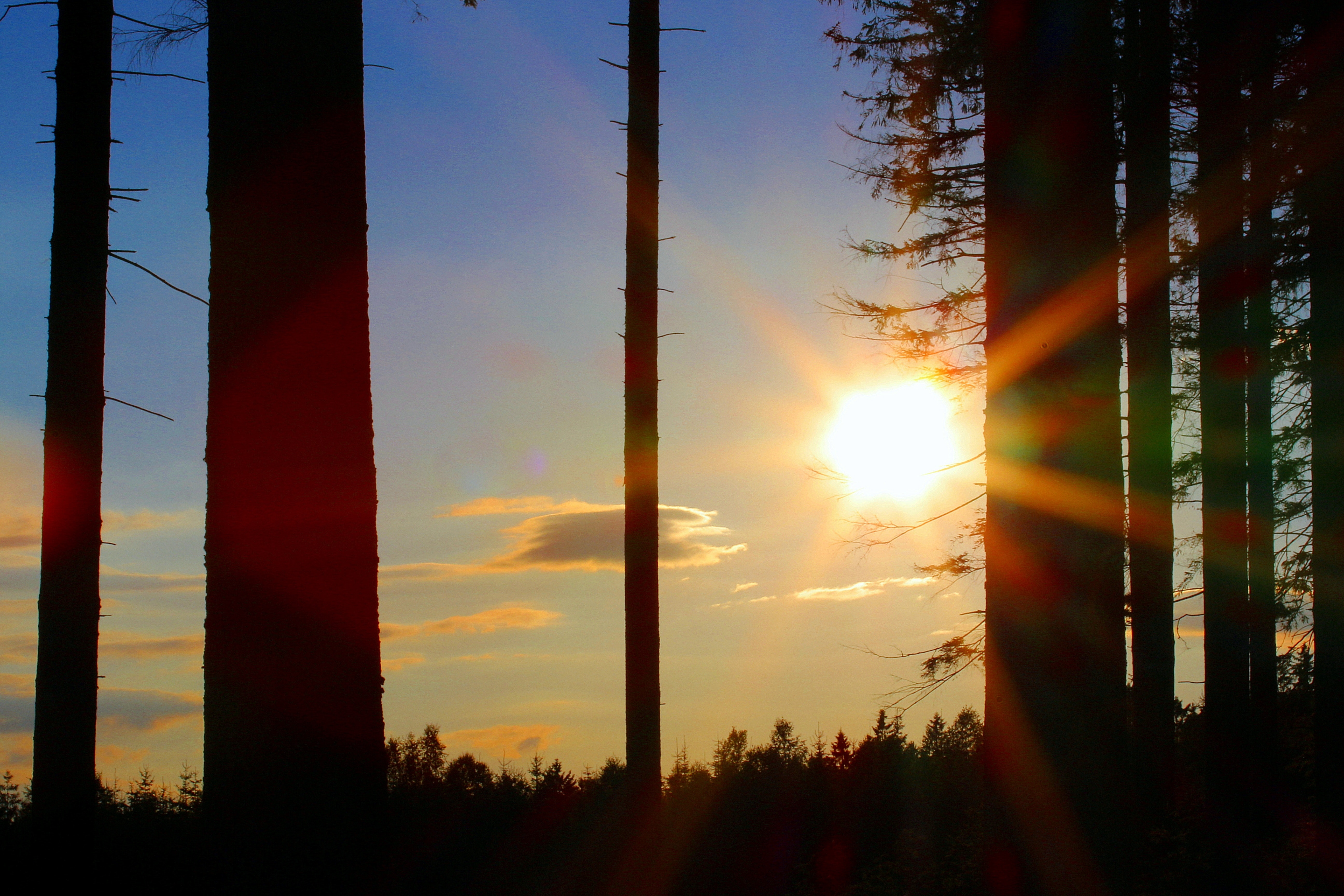 Silhouette of Trees during Golden Hour, Dawn, Dusk, Forest, Nature, HQ Photo