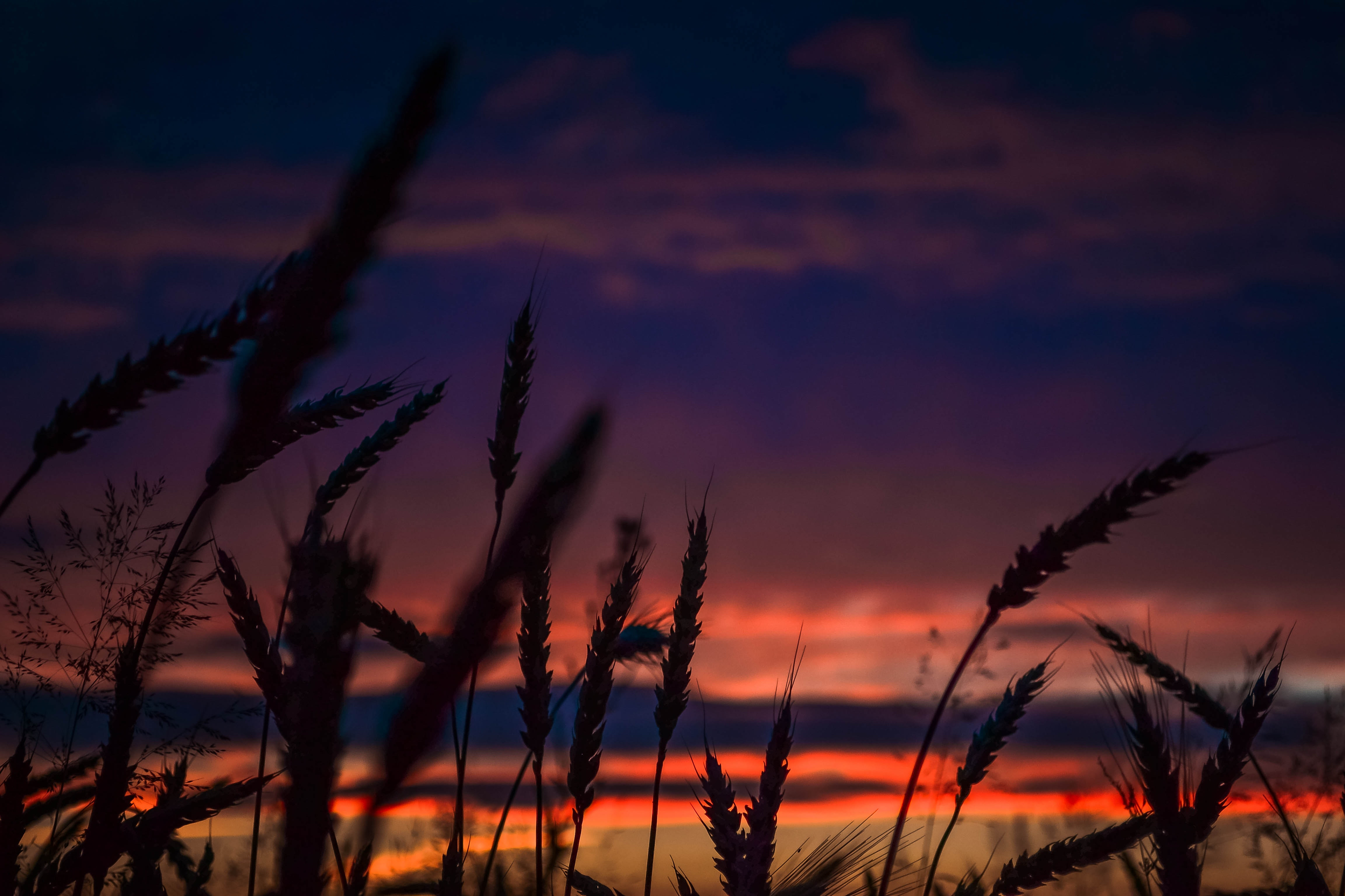 Silhouette of Wheats during Dawn in Landscape Photography, Mother nature, Sunset, Silhouettes, Scenic, HQ Photo