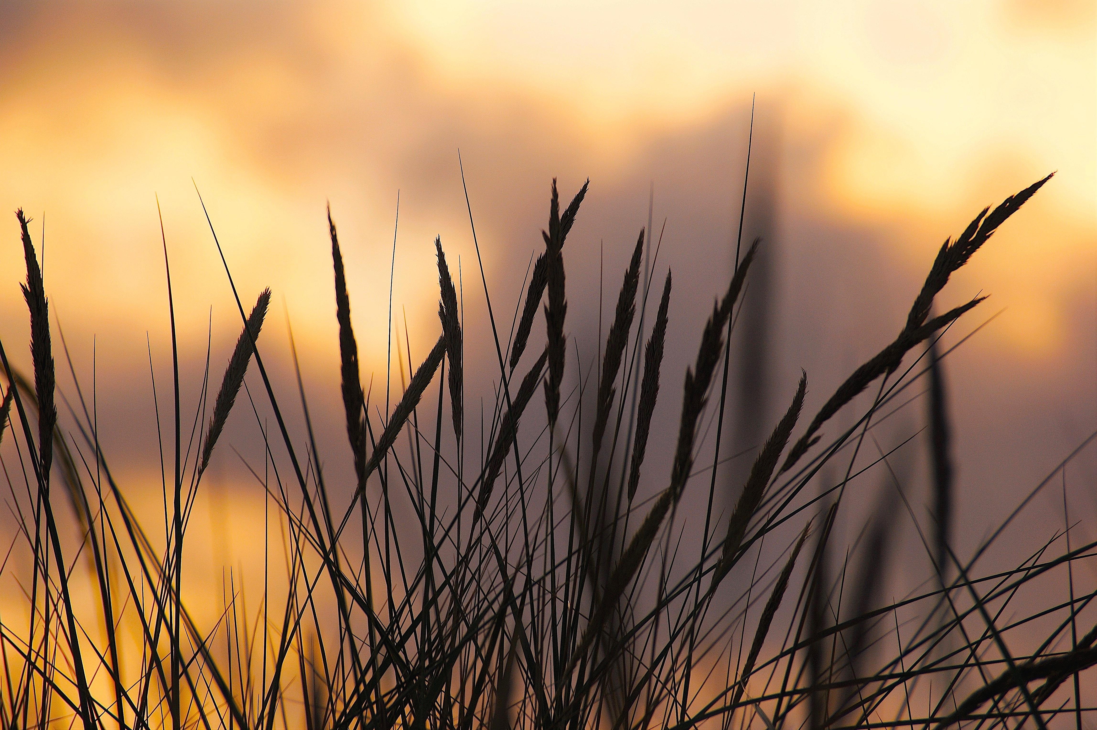 Silhouette Photo of Wheat during Sunset, Abendstimmung, Sunset, Sunlight, Summer, HQ Photo