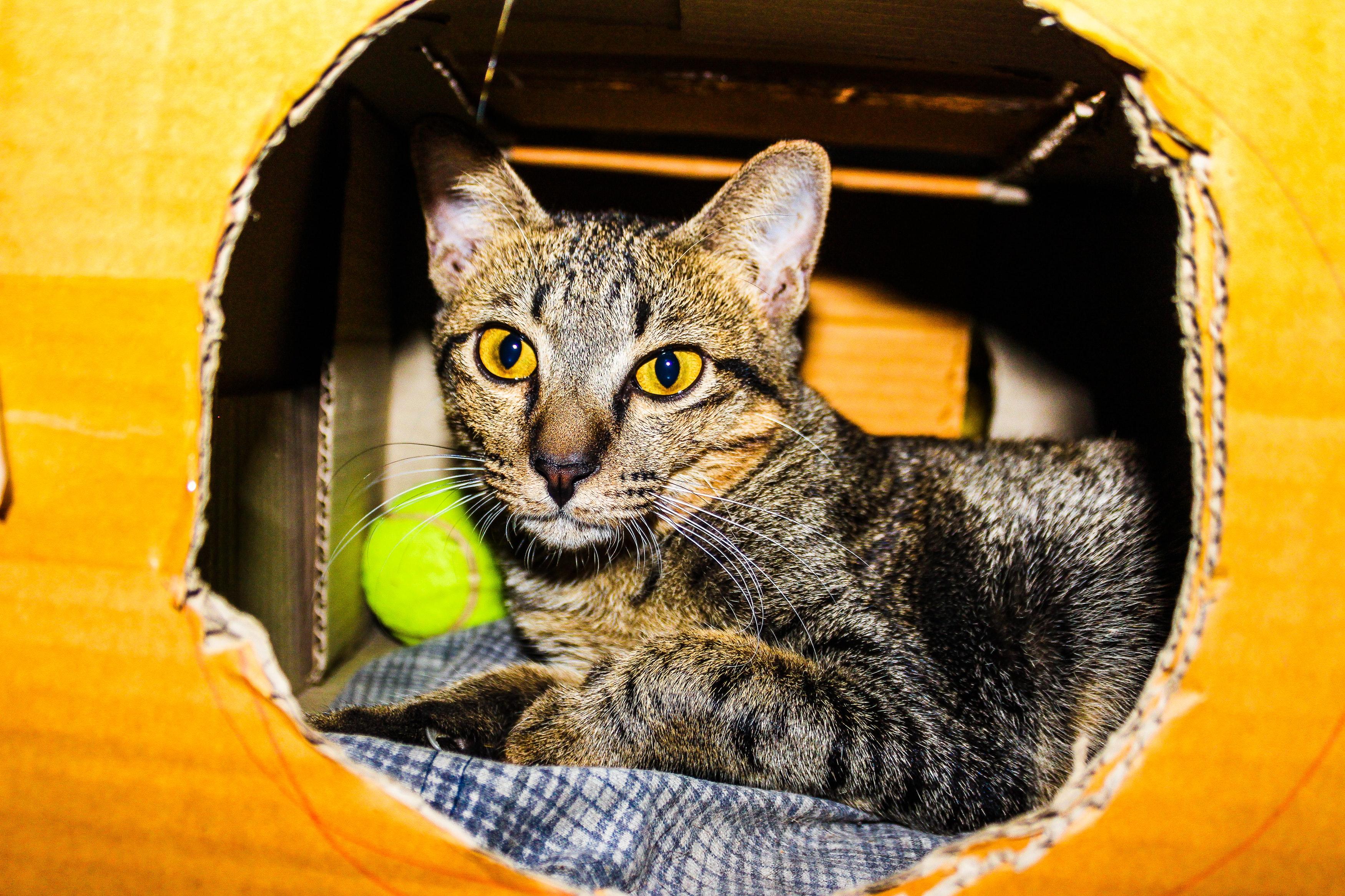 Silver tabby cat inside a brown cardboard box photo