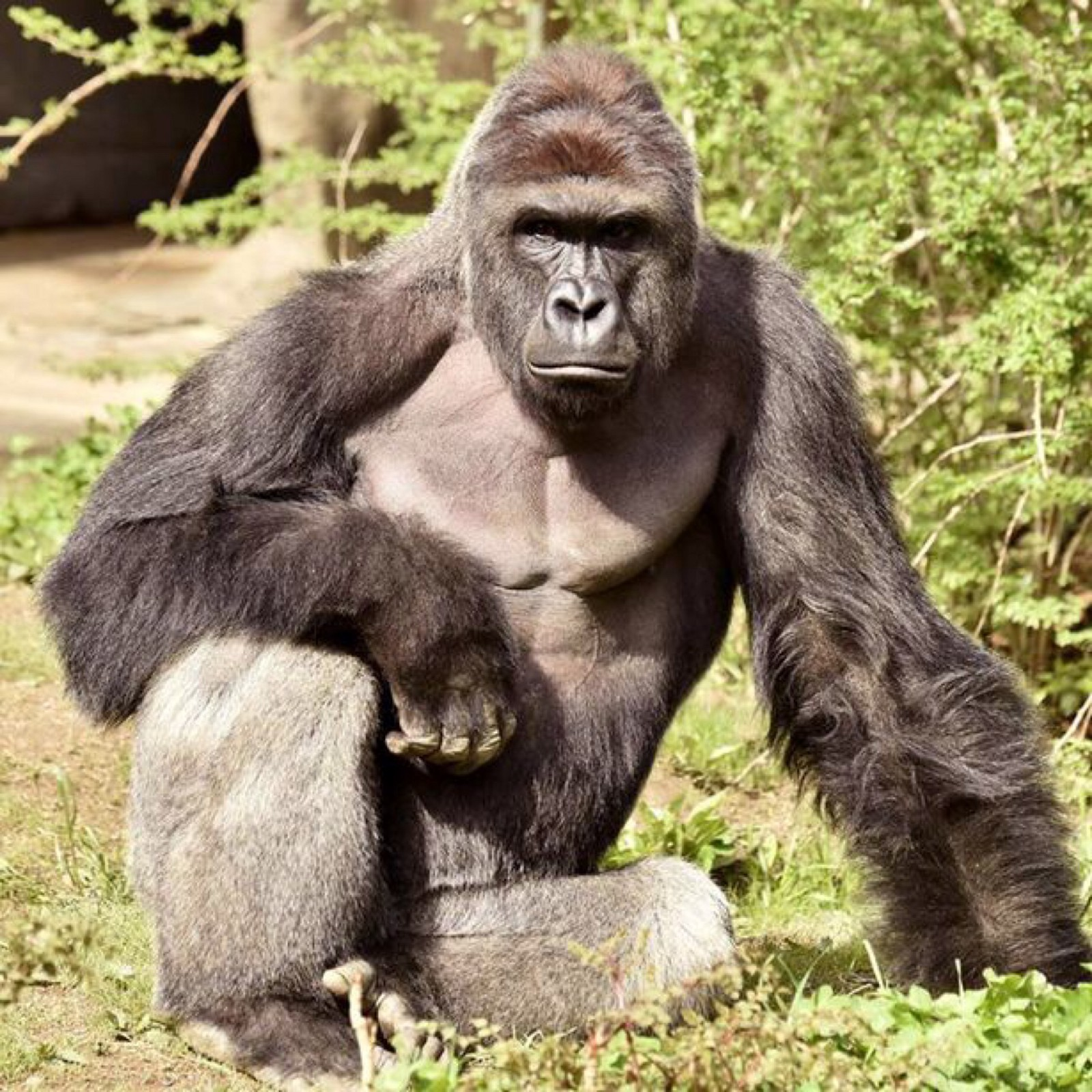 Harambe The Silverback Gorilla: Murdered While Serving Life Sentence ...