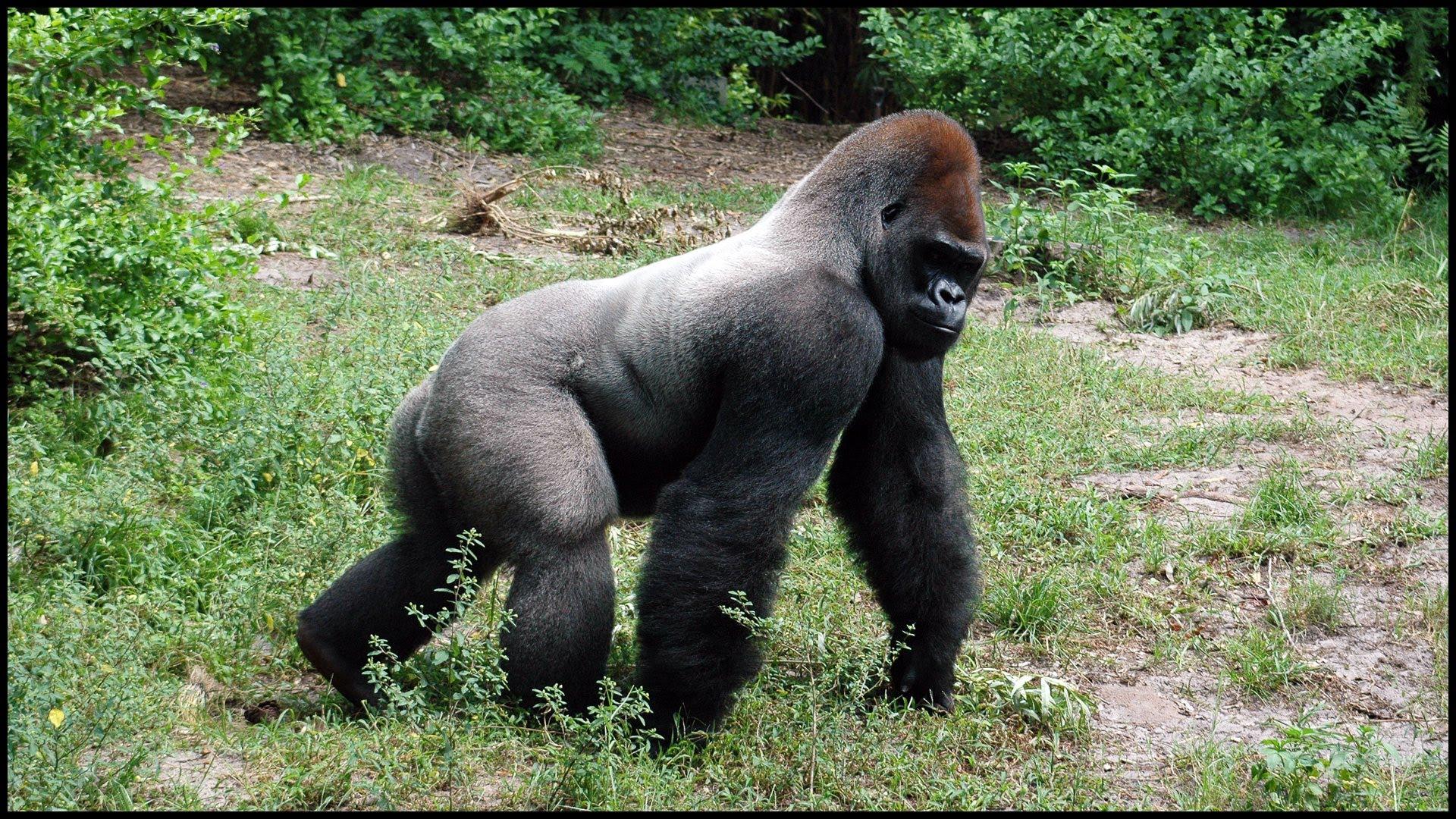 Silverback Gorillas (Gorilla gorilla) - YouTube