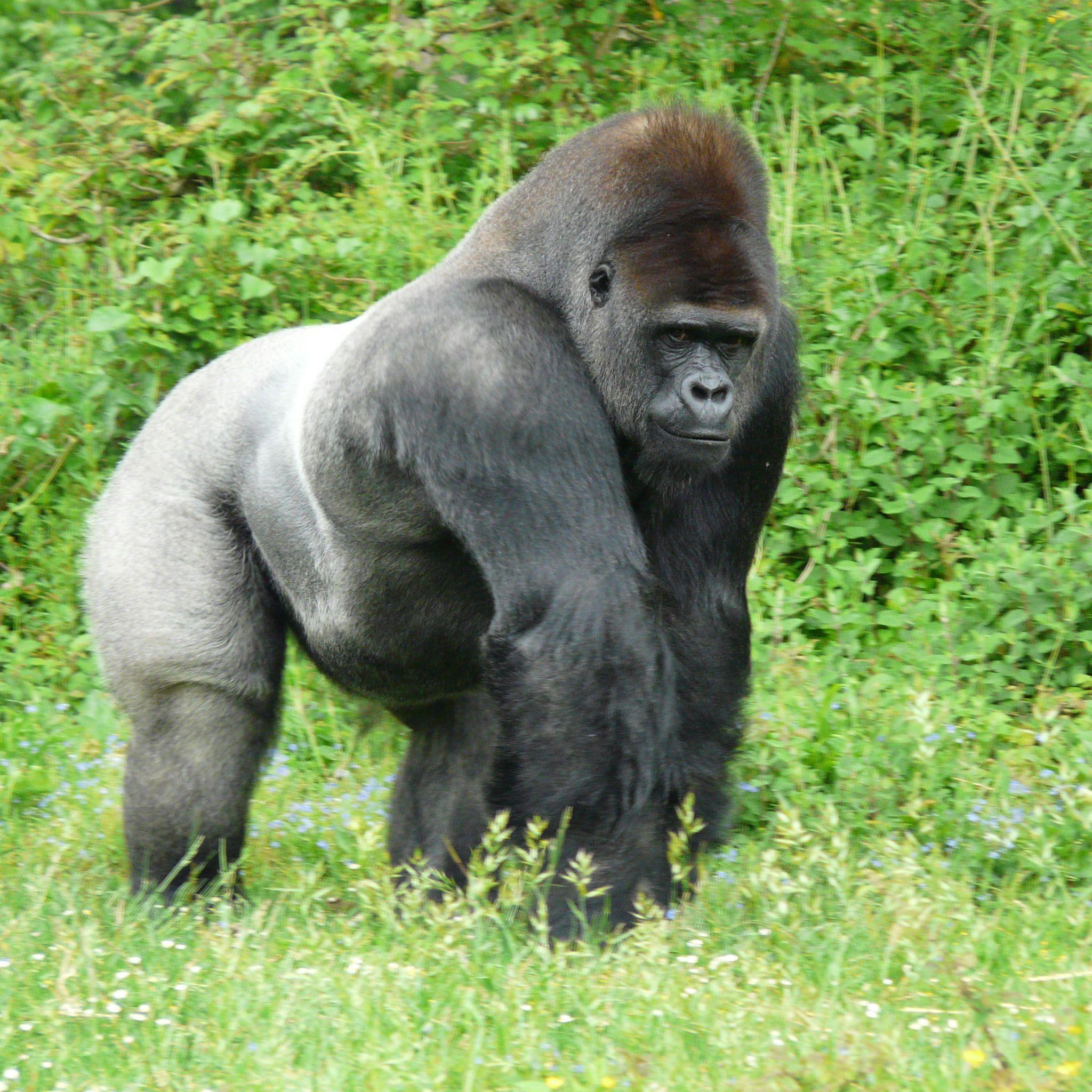 PICTURES OF SILVERBACK GORILLIAS | Proud Silverback Gorilla 2048 x ...