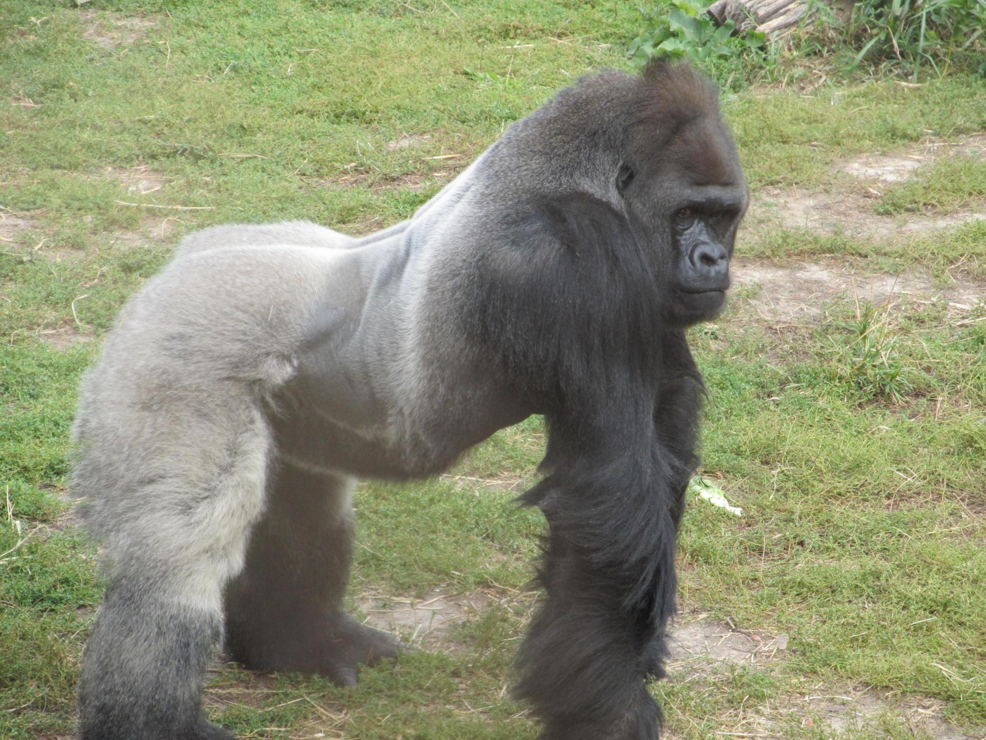 Silverback Gorilla Posing Free Stock Photo - Public Domain Pictures