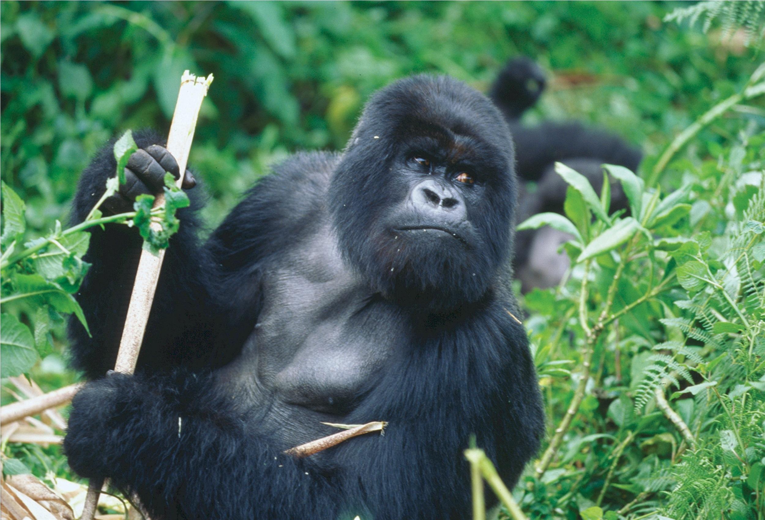 Silverback Gorilla, Animal, Black, Gorilla, Powerful, HQ Photo