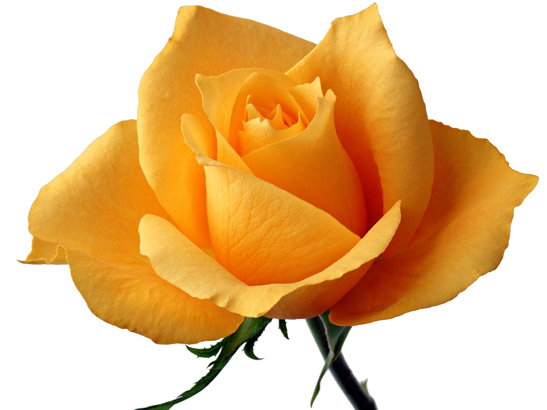 Flowers: Yellow Rose Means Faith Svetik Single Flower Wallpaper for ...