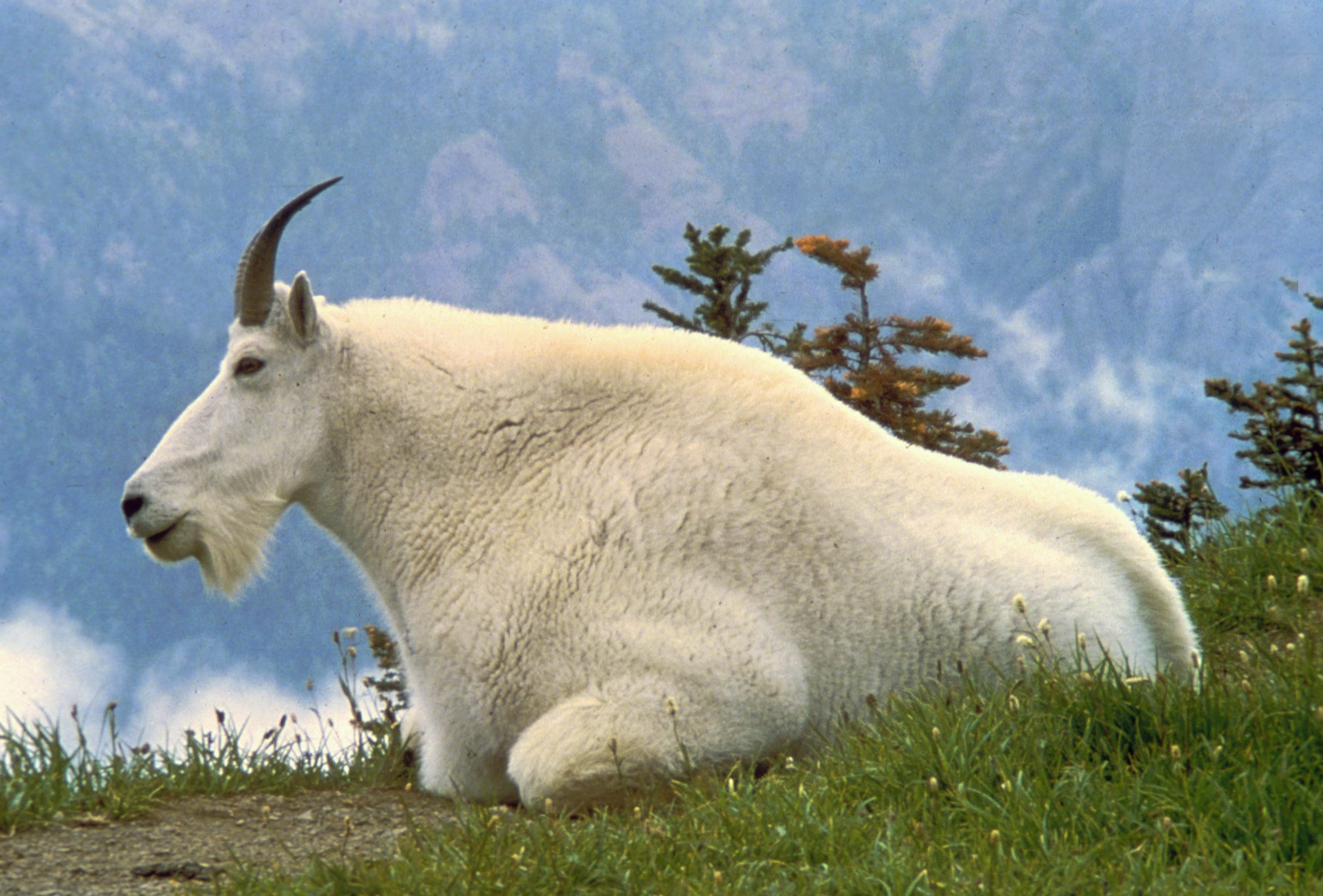 Mammals of Olympic National Park - Wikipedia, the free encyclopedia ...
