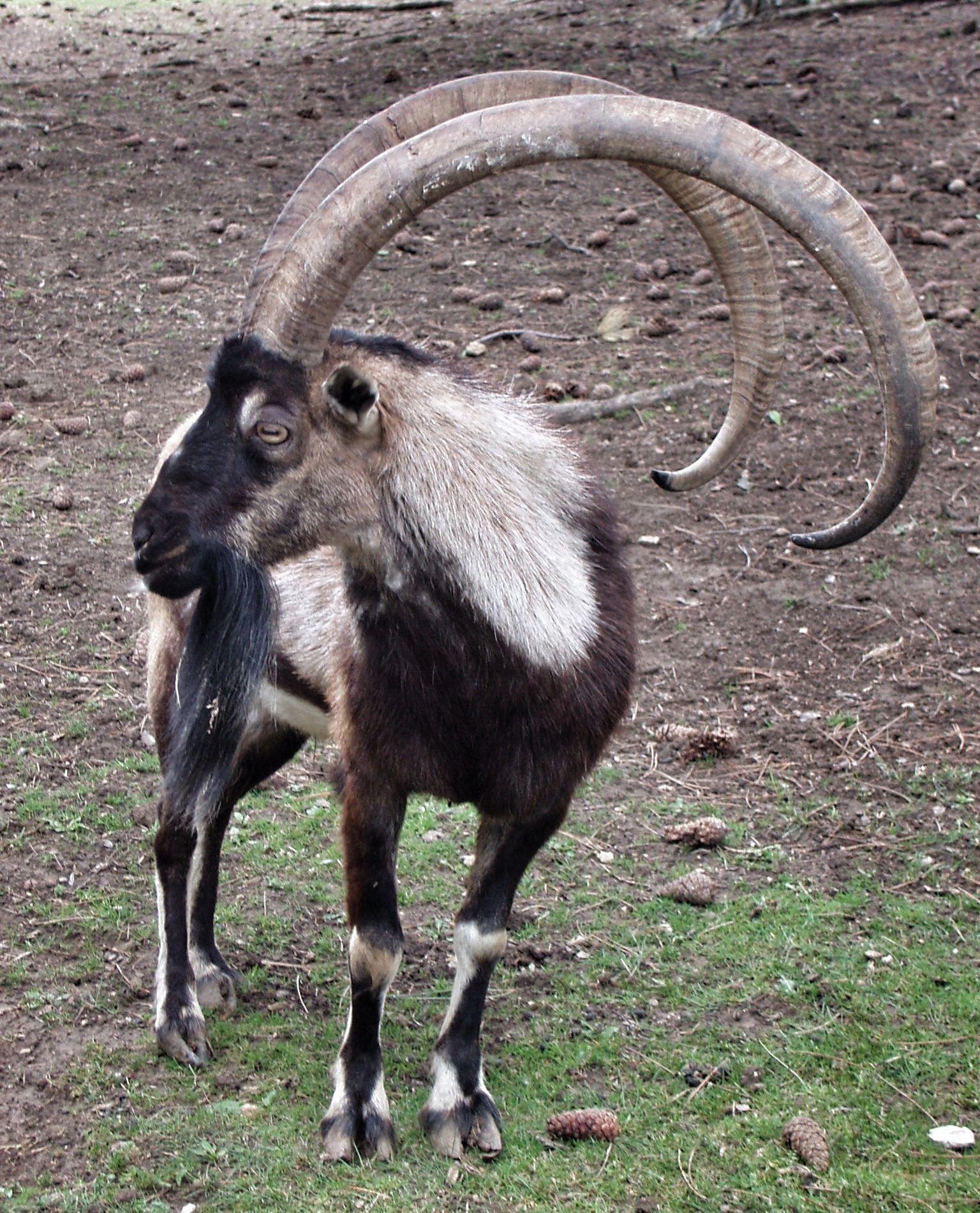 Bezoar Mountain goat | Natural wonders | Pinterest | Mountain goats ...