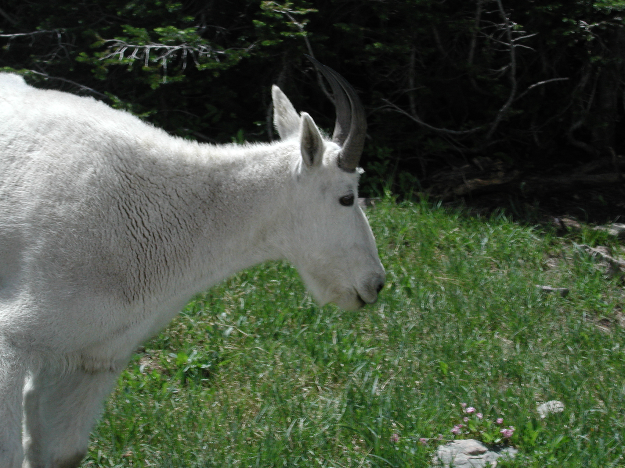Single Mountain Goat