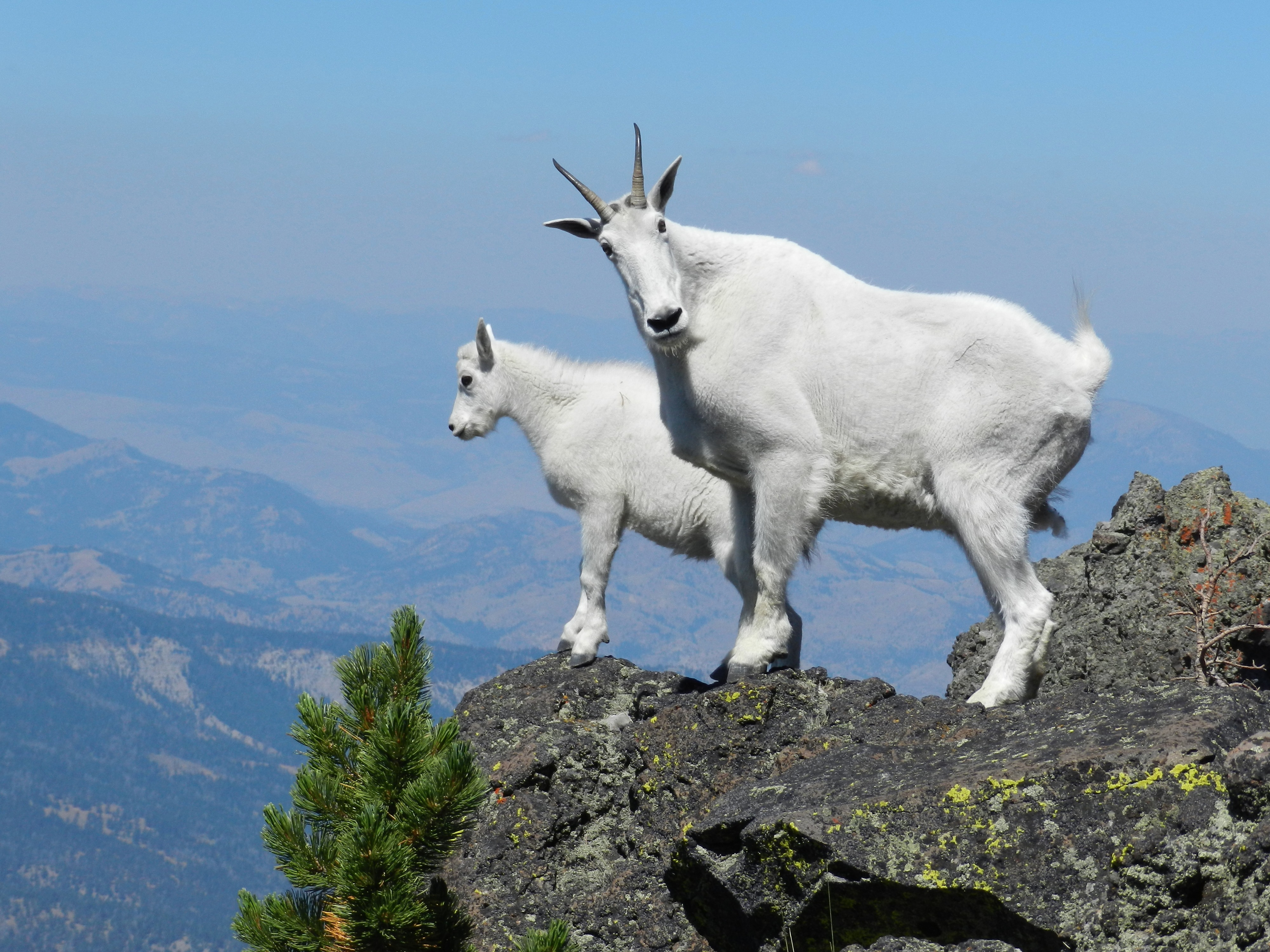 How do Mountain goats get their incredible cliff-climbing skills ...